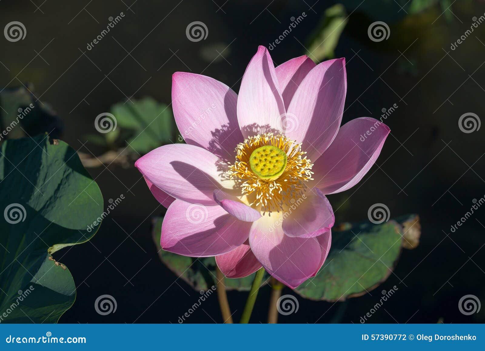 Roze de lotusbloembloem van de bloesem