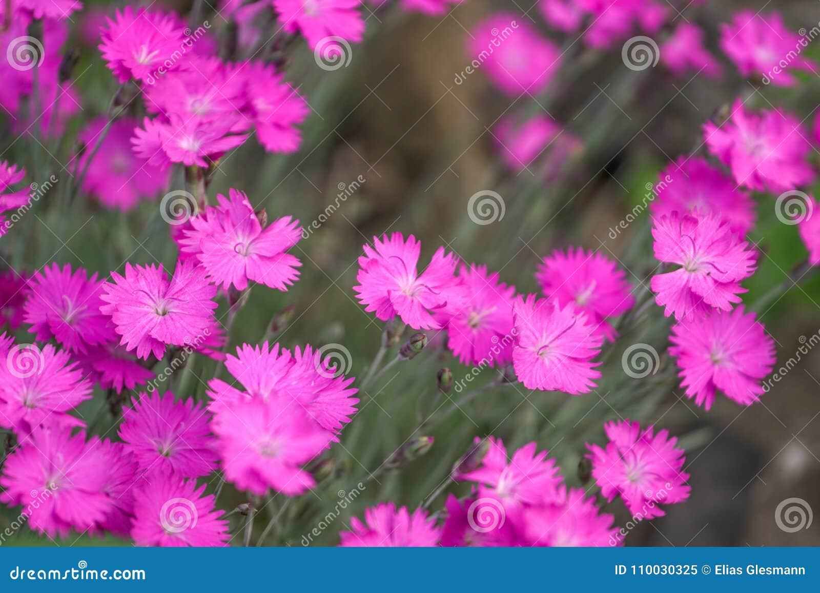 Roze Dianthus
