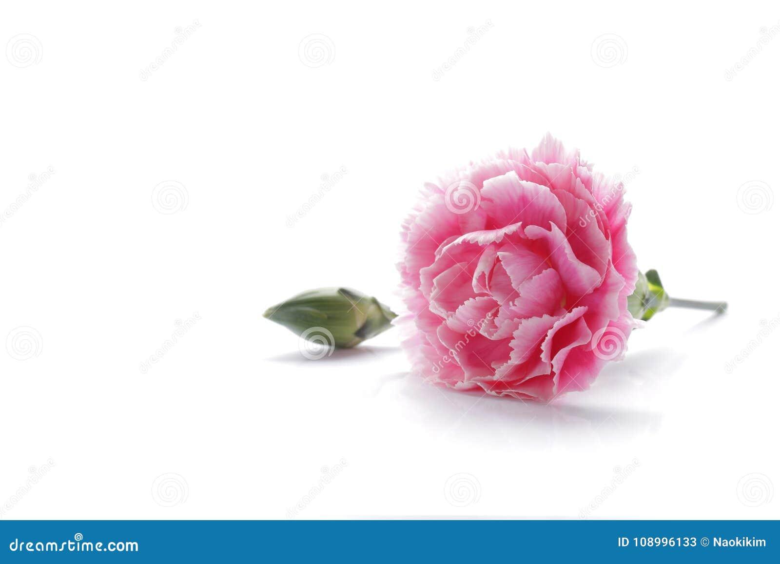Roze die anjerbloem op witte achtergrond wordt geïsoleerd