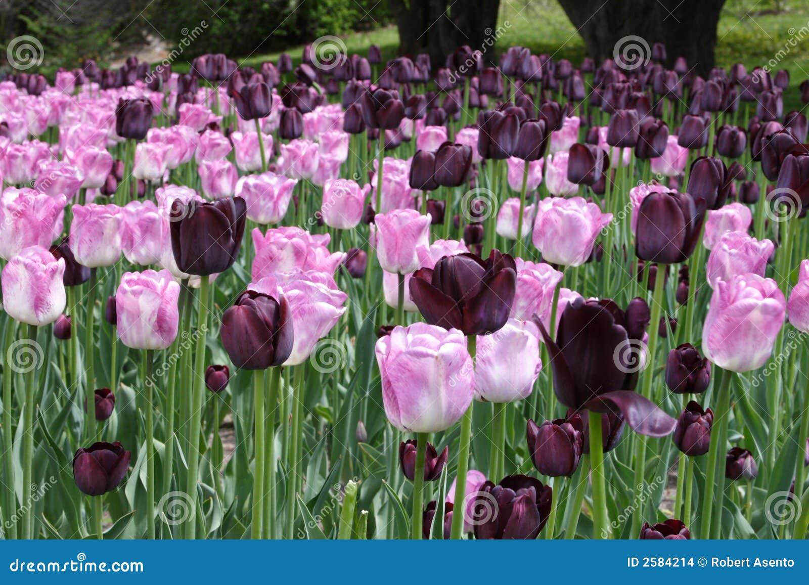 Roze en purpere tulpen
