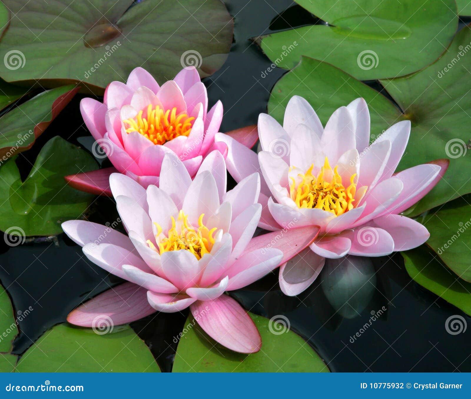 Roze en Wit Tweekleurig Water Lillies