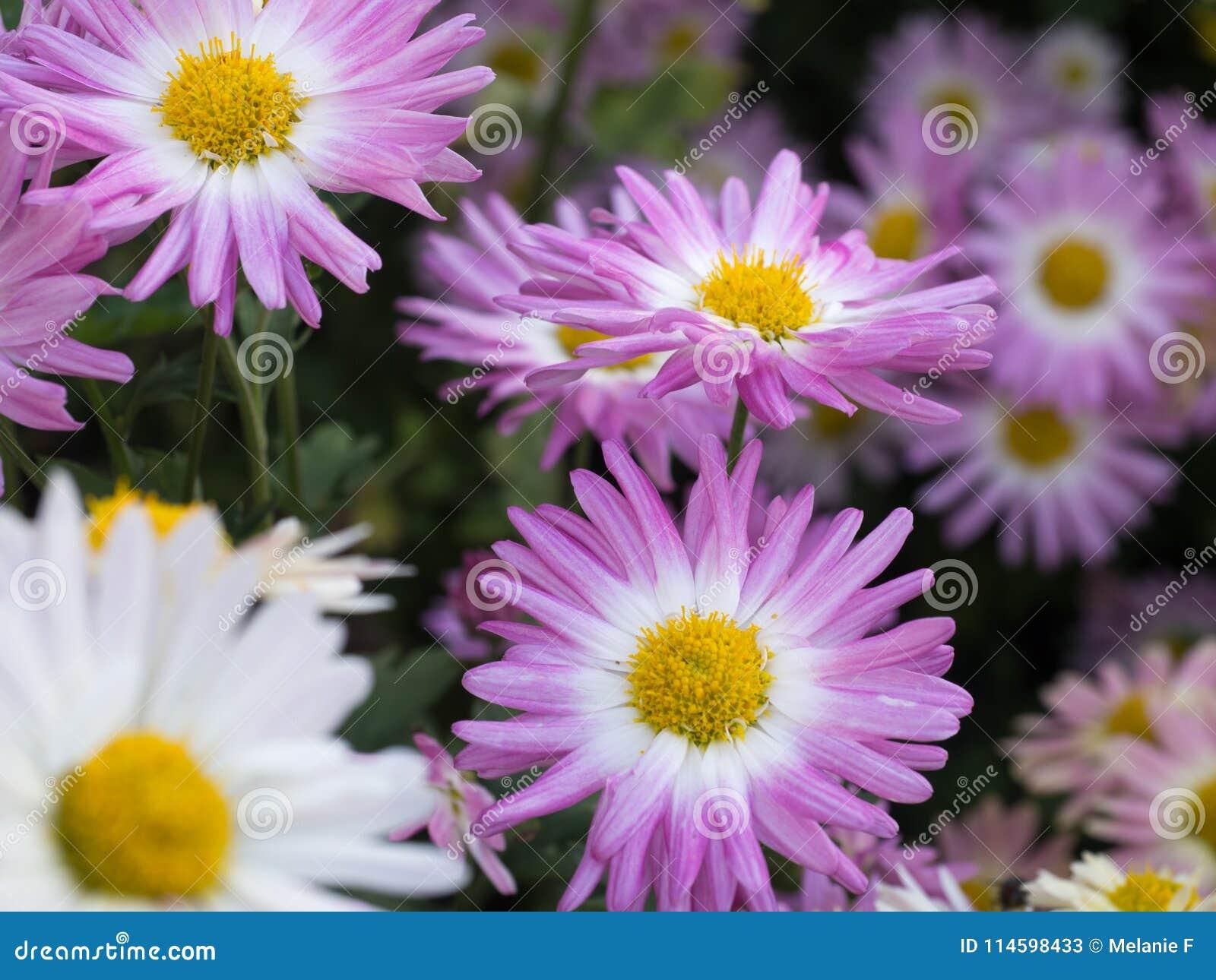 Roze en witte mums in bloei