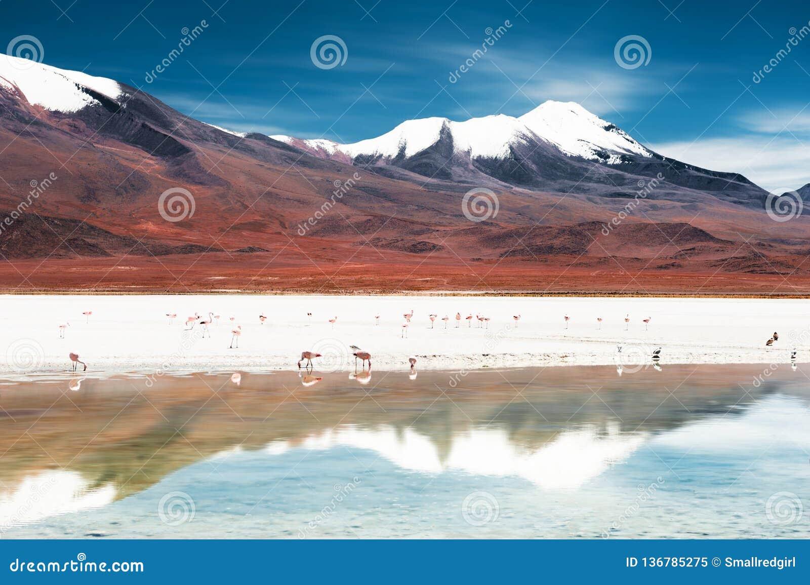 Roze flamingo s op de Celeste-lagune op Altiplano-plateau, Bolivië