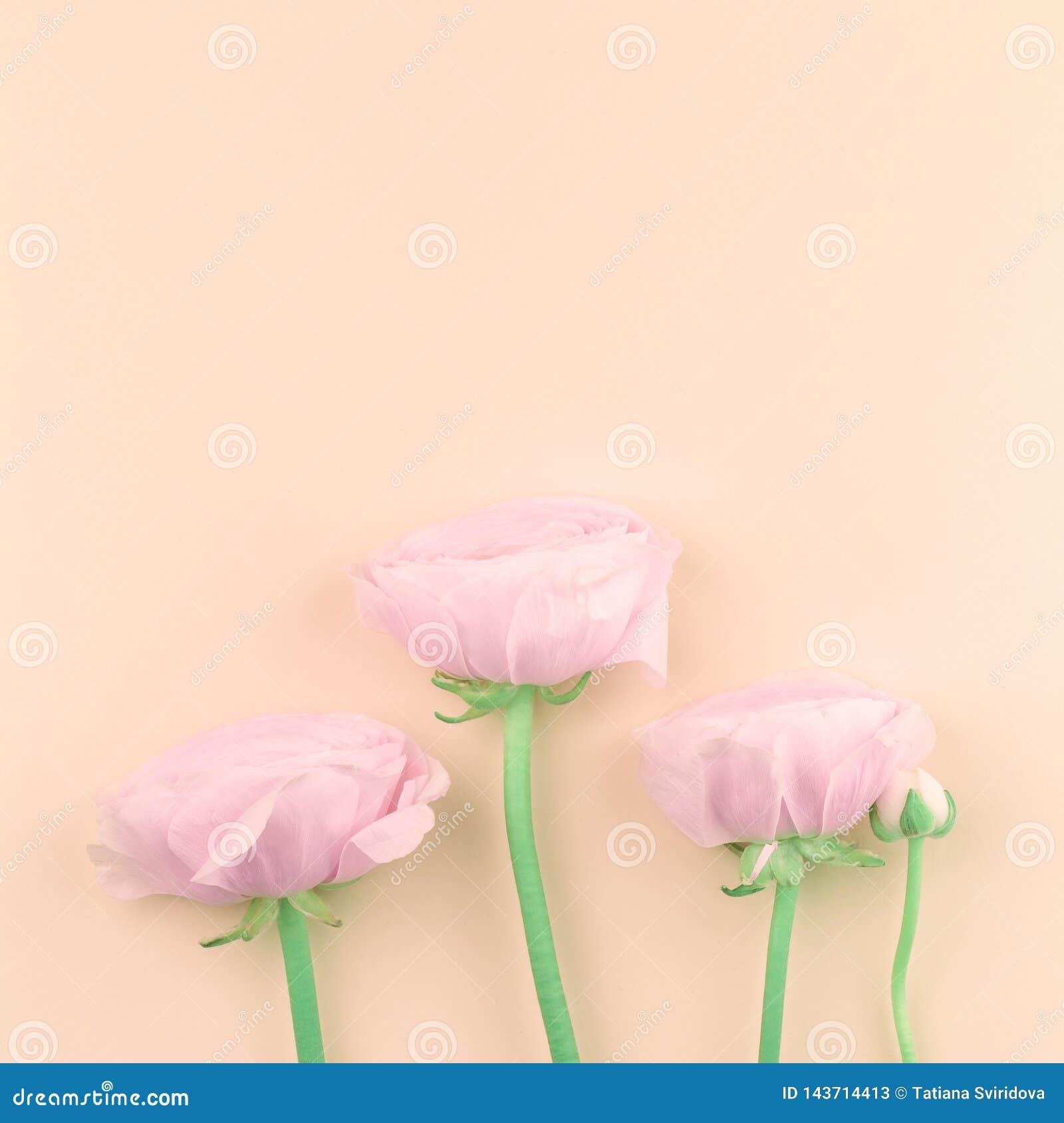 Roze gekleurde pioen of boterbloemenbloemen op perzik