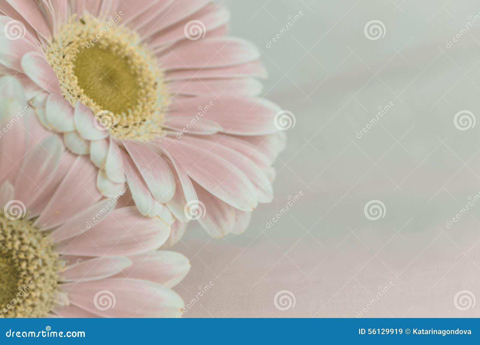 Roze gerberbloem