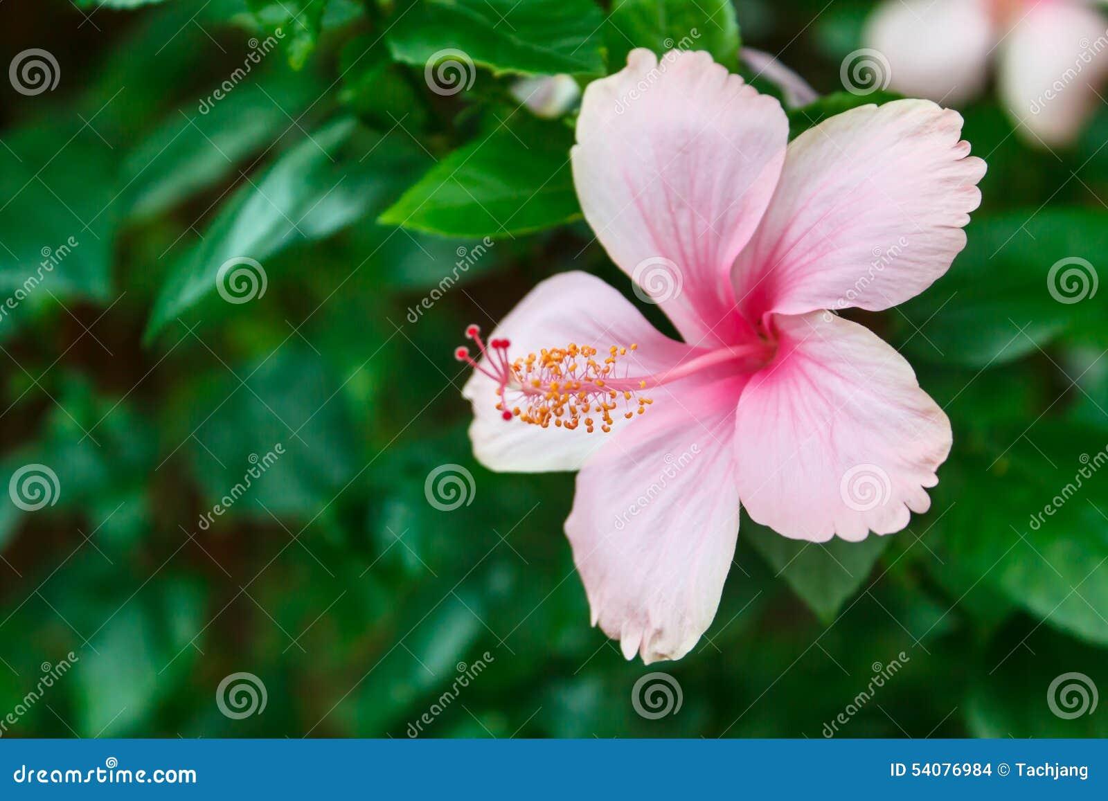 Roze Hibiscus