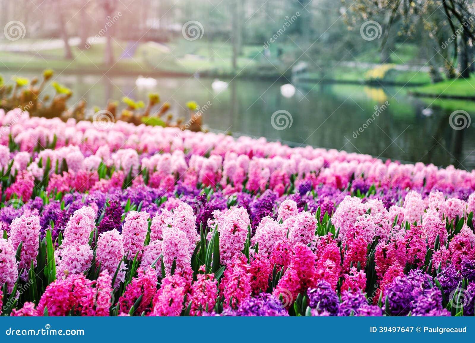 Roze hyacinten in keukenhof tuinen nederland stock afbeelding