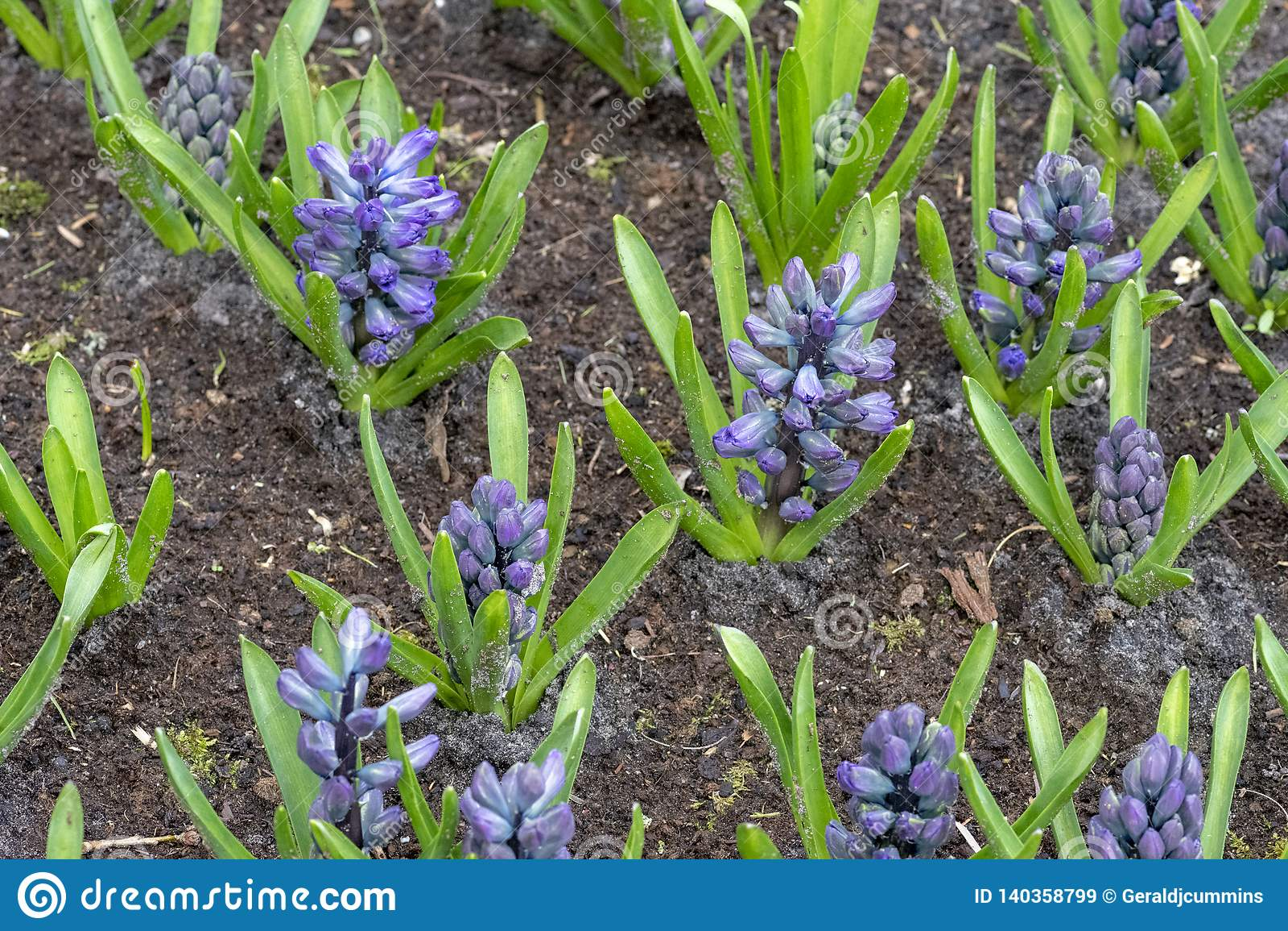 Roze Hyacinthus, Speciesorientalis, Hyacint Aantrekkelijke de lente bolvormige bloemen Hoogst geurig