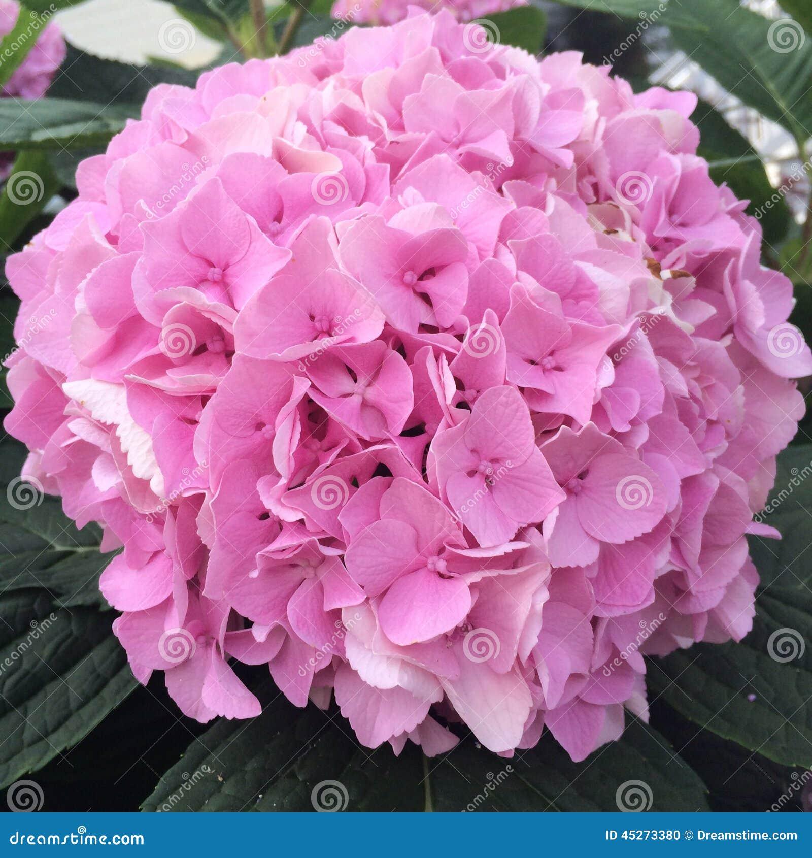 Roze hydrangea hortensia