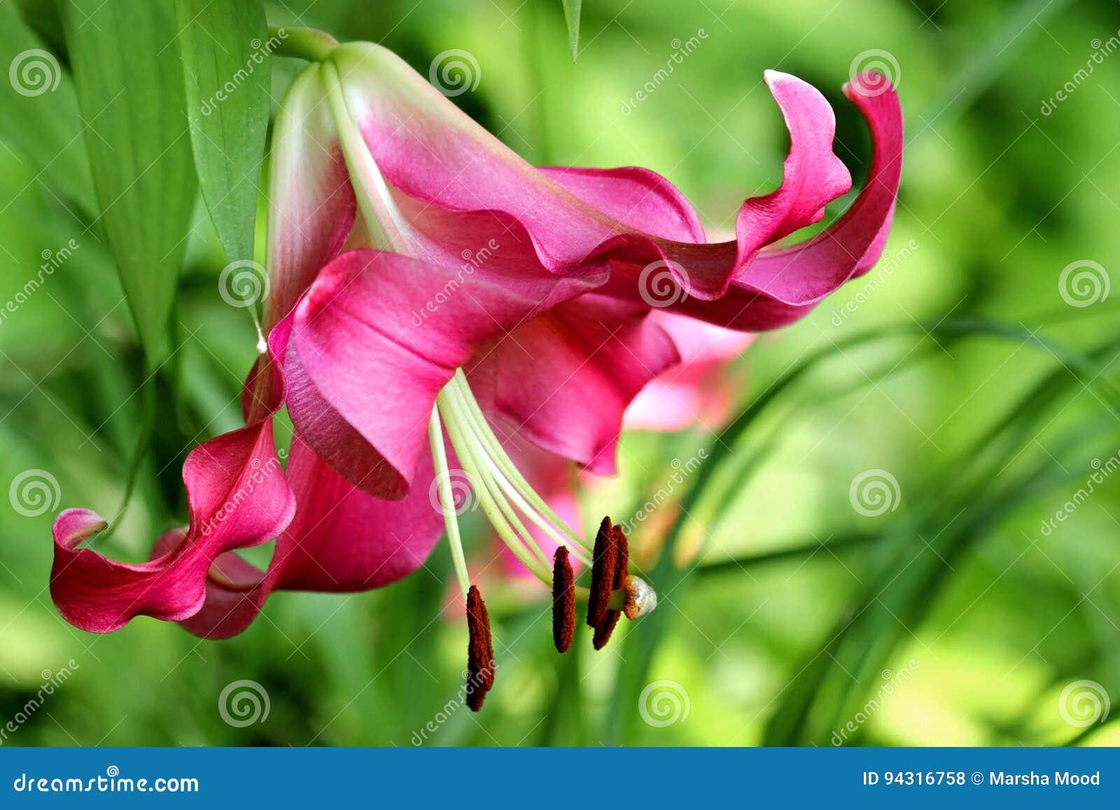 Roze lelie