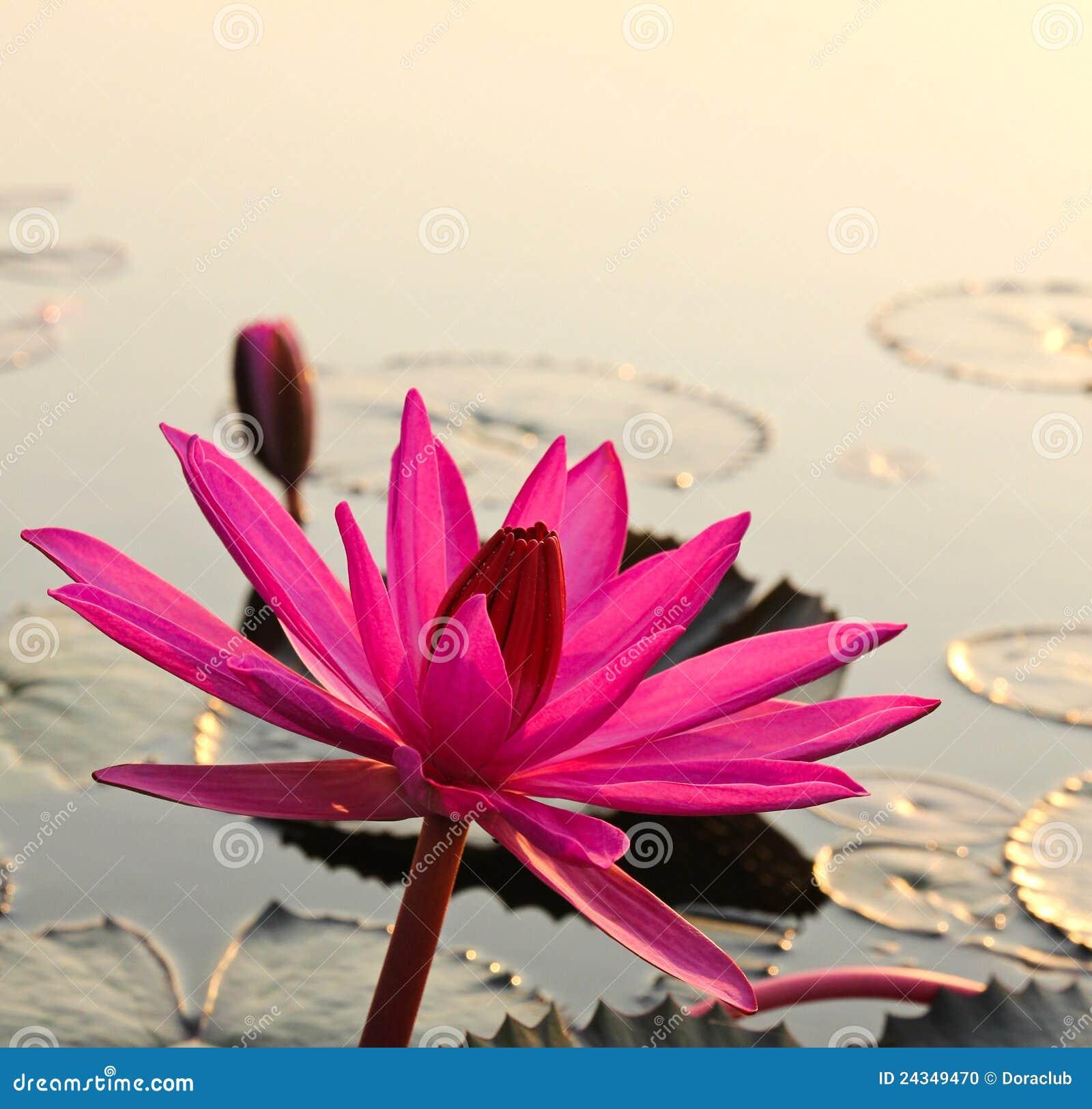 Roze lotusbloem in het ochtendlicht
