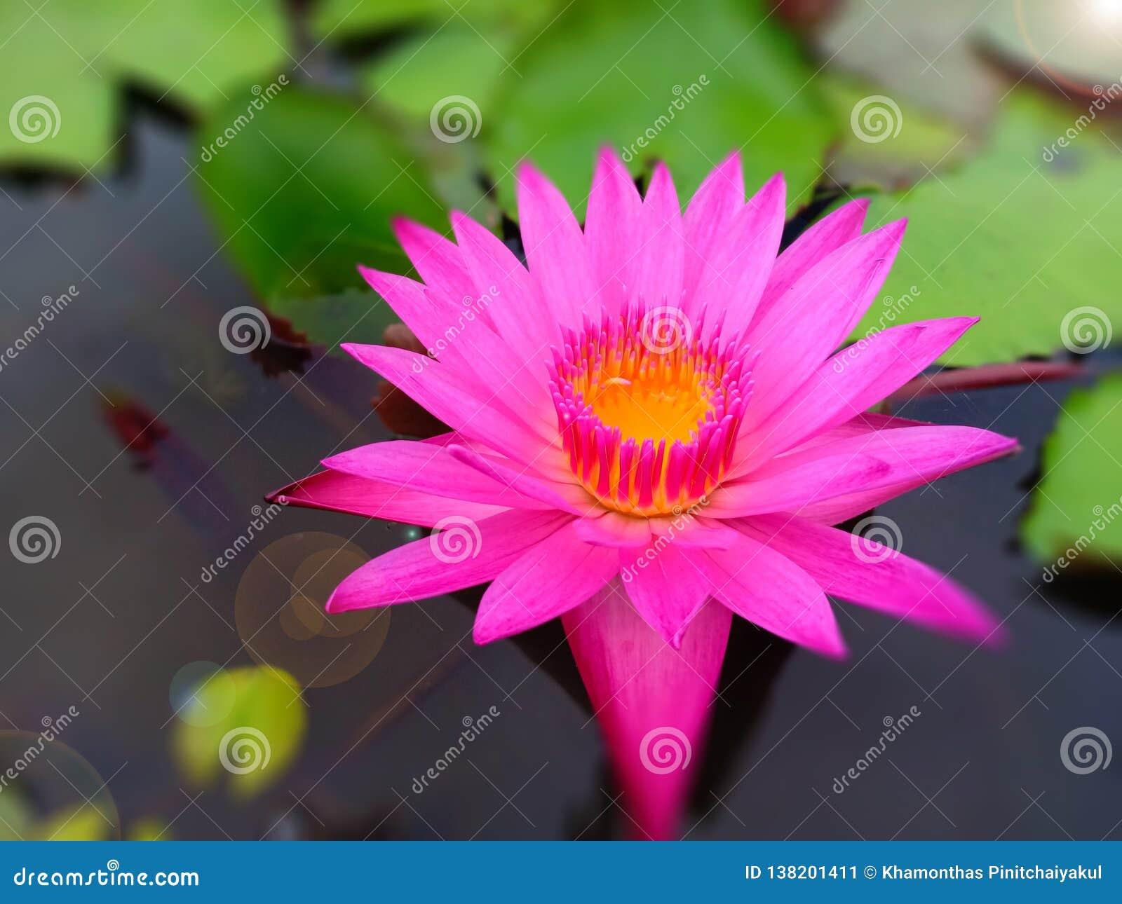 Roze lotusbloem in meer