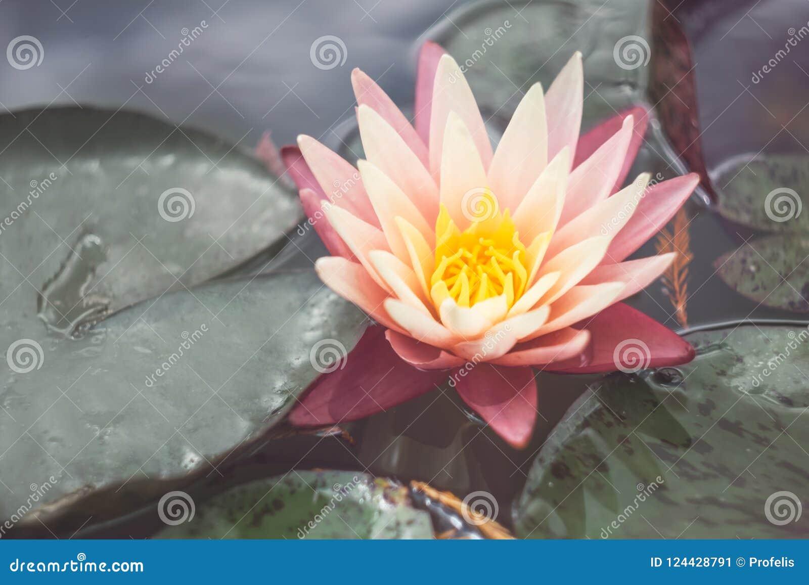 Roze lotusbloem onder de vijver Exotische tropische bloem op een lichtgroene achtergrond Water lilly gebladerte