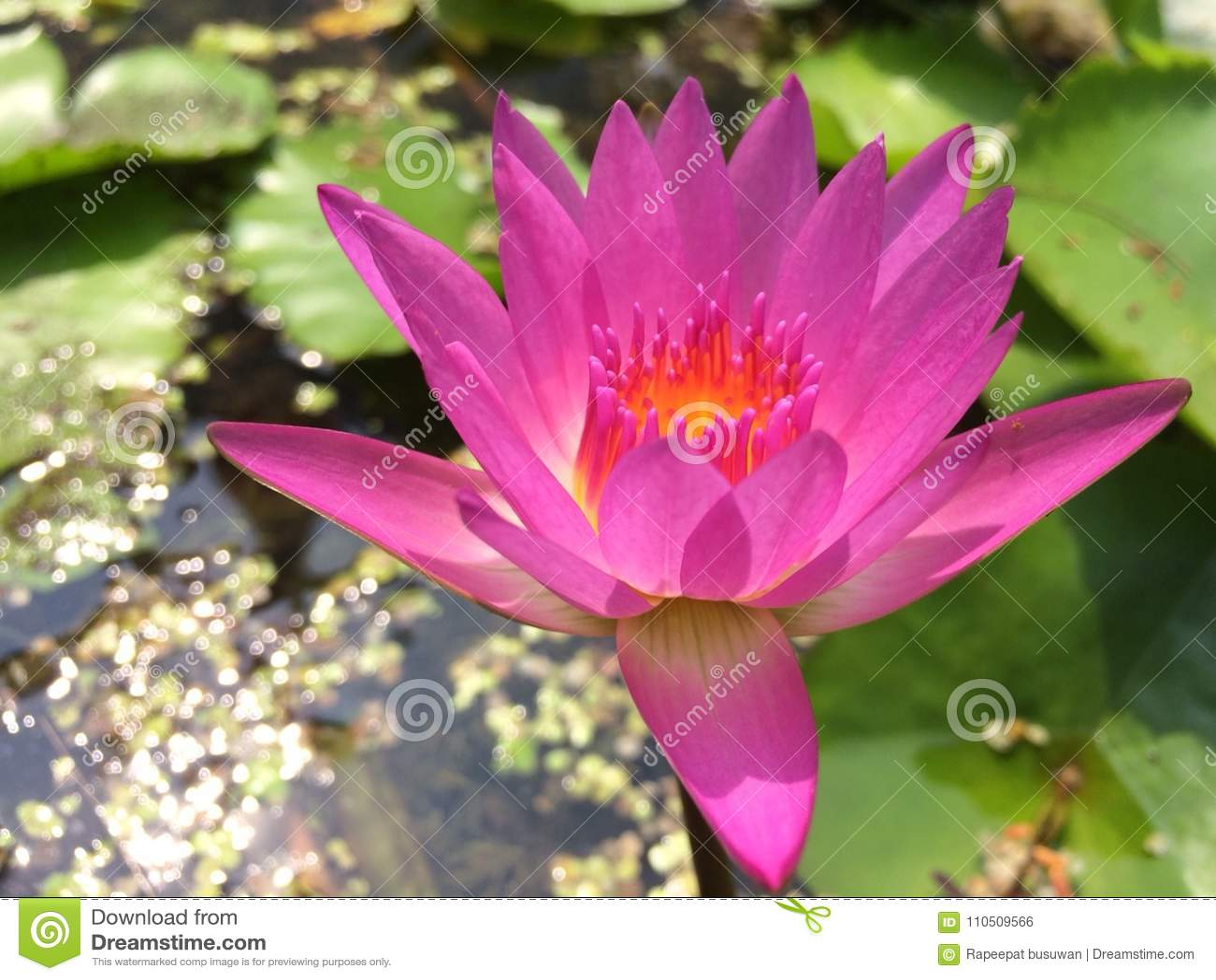 Roze lotusbloem op waterachtergrond