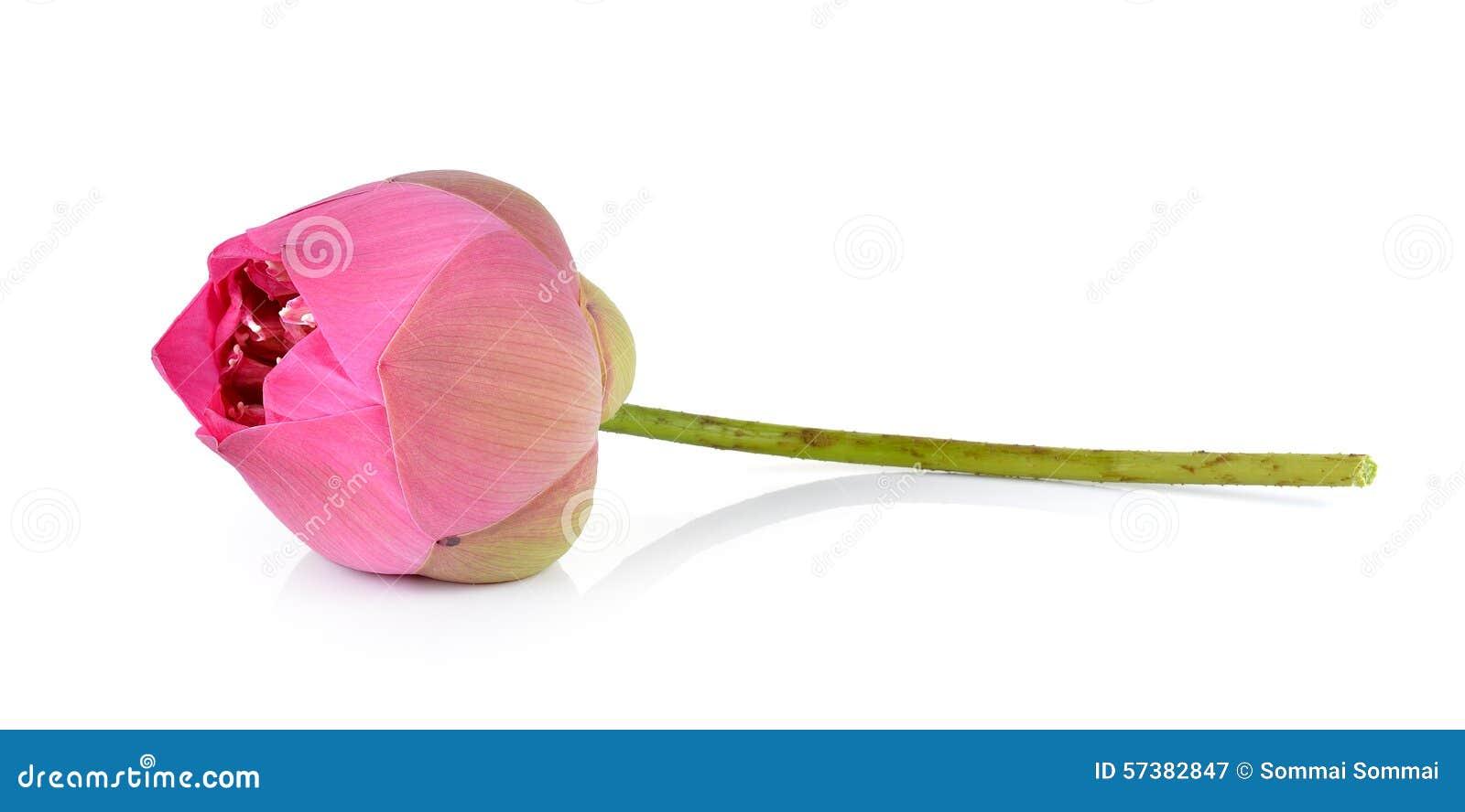Roze lotusbloem op witte achtergrond