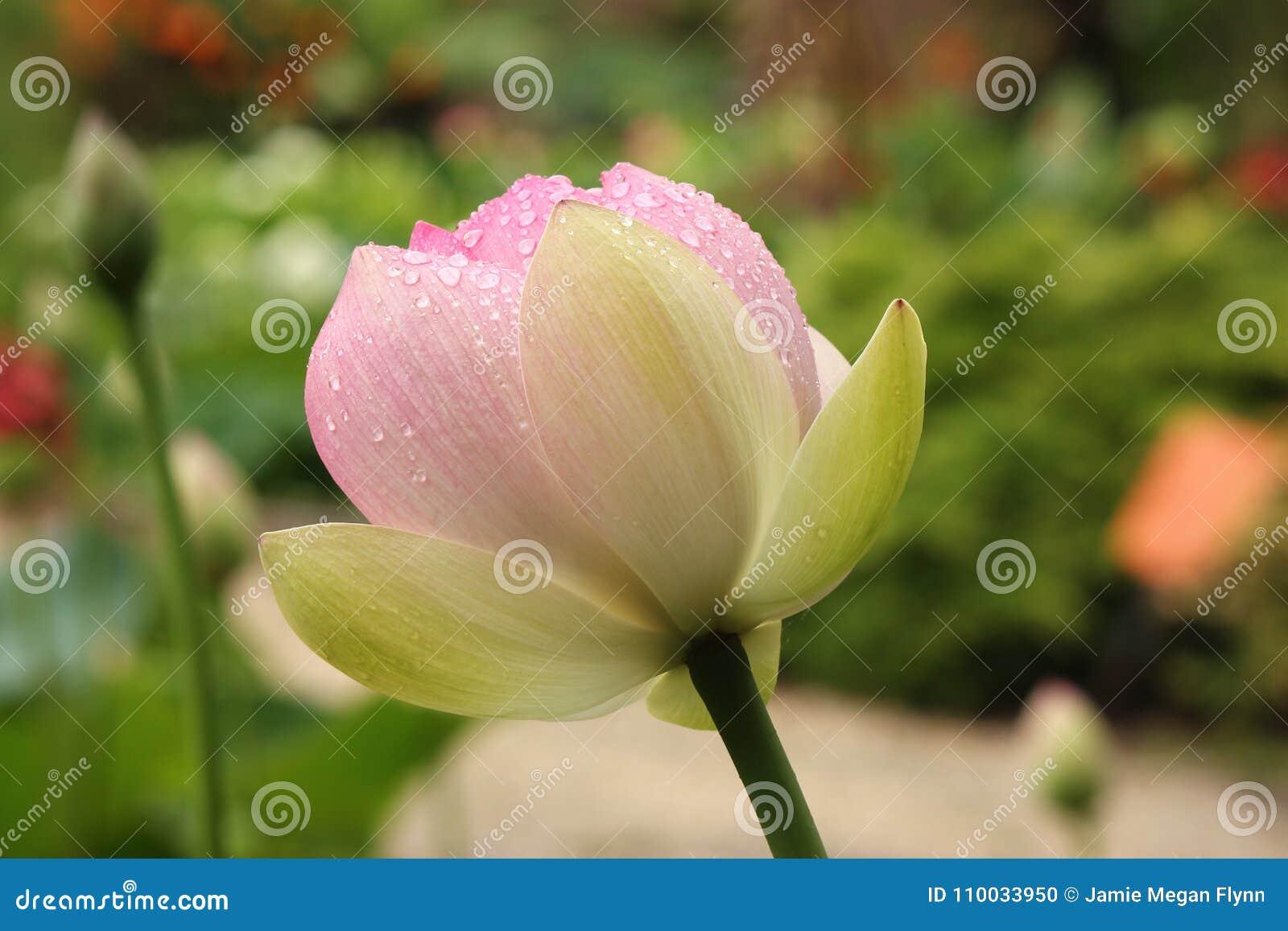 Roze lotusbloembloem met regendruppels