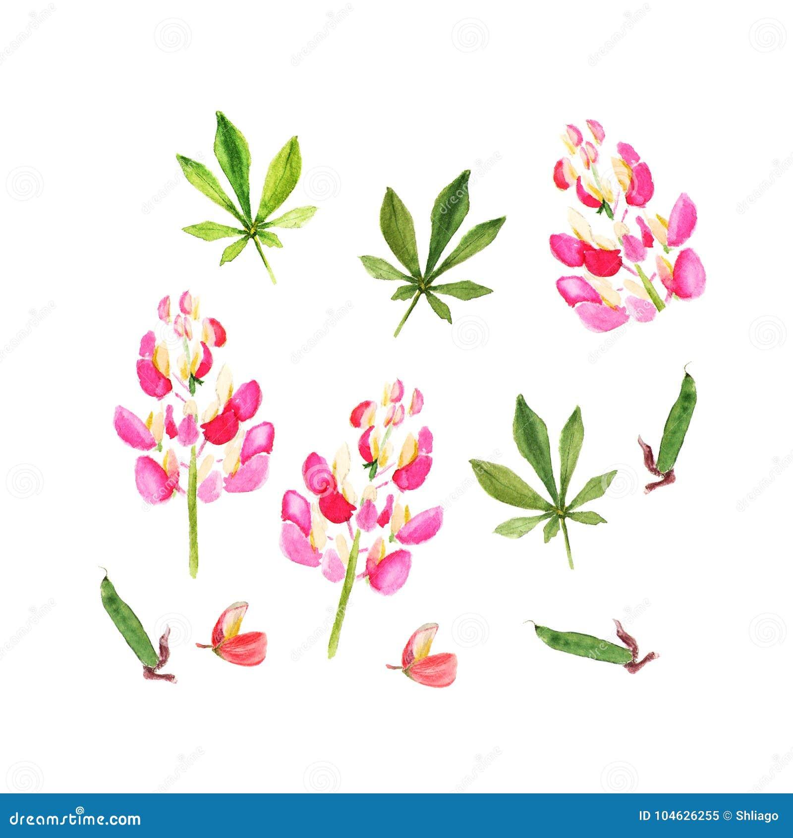 Download Roze Lupine De Illustratie Van De Waterverf Geïsoleerd Op Wit Stock Illustratie - Illustratie bestaande uit verjaardag, gardening: 104626255