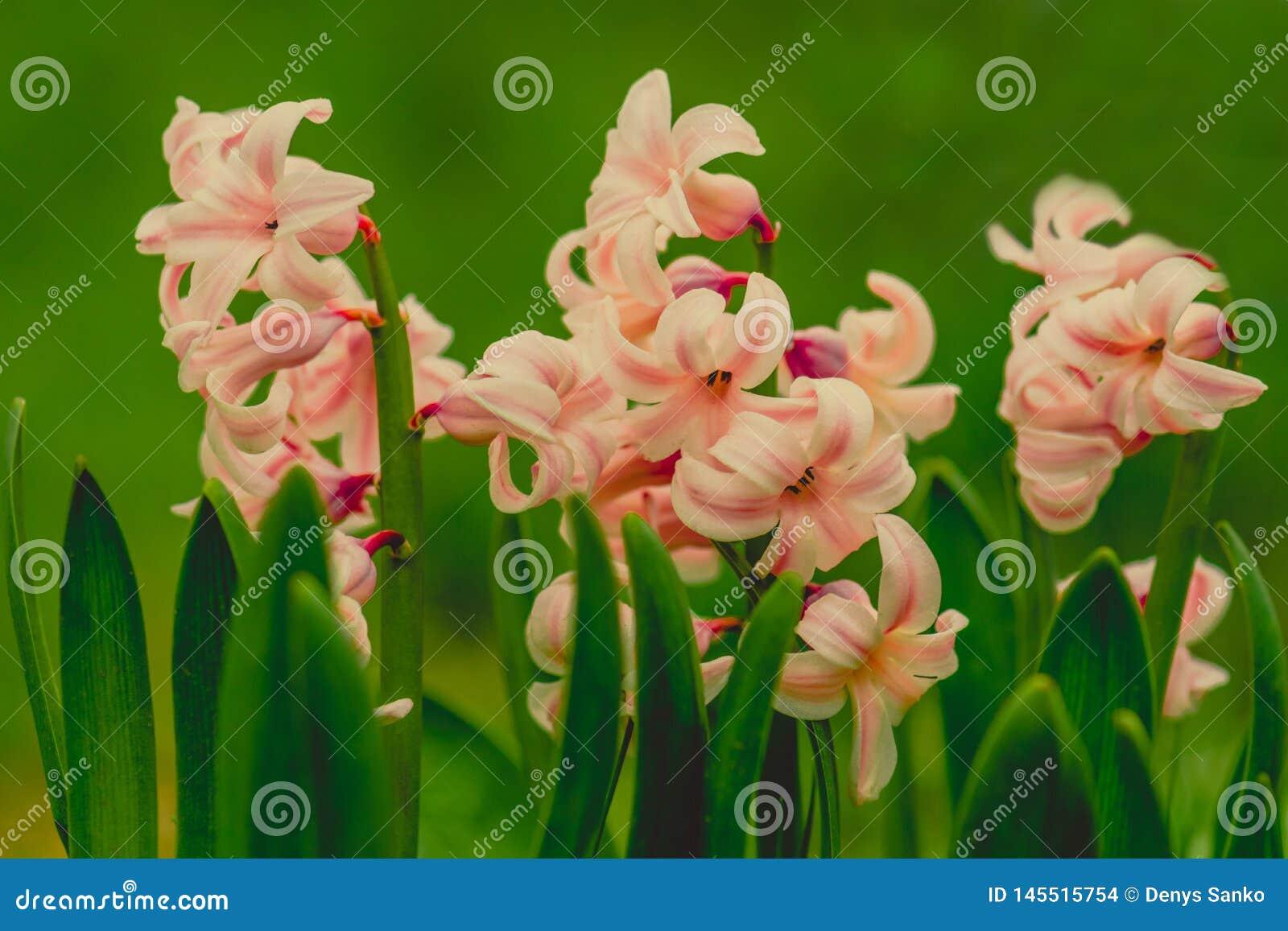 Roze macrofotografie van bloemenhyacinten de zacht