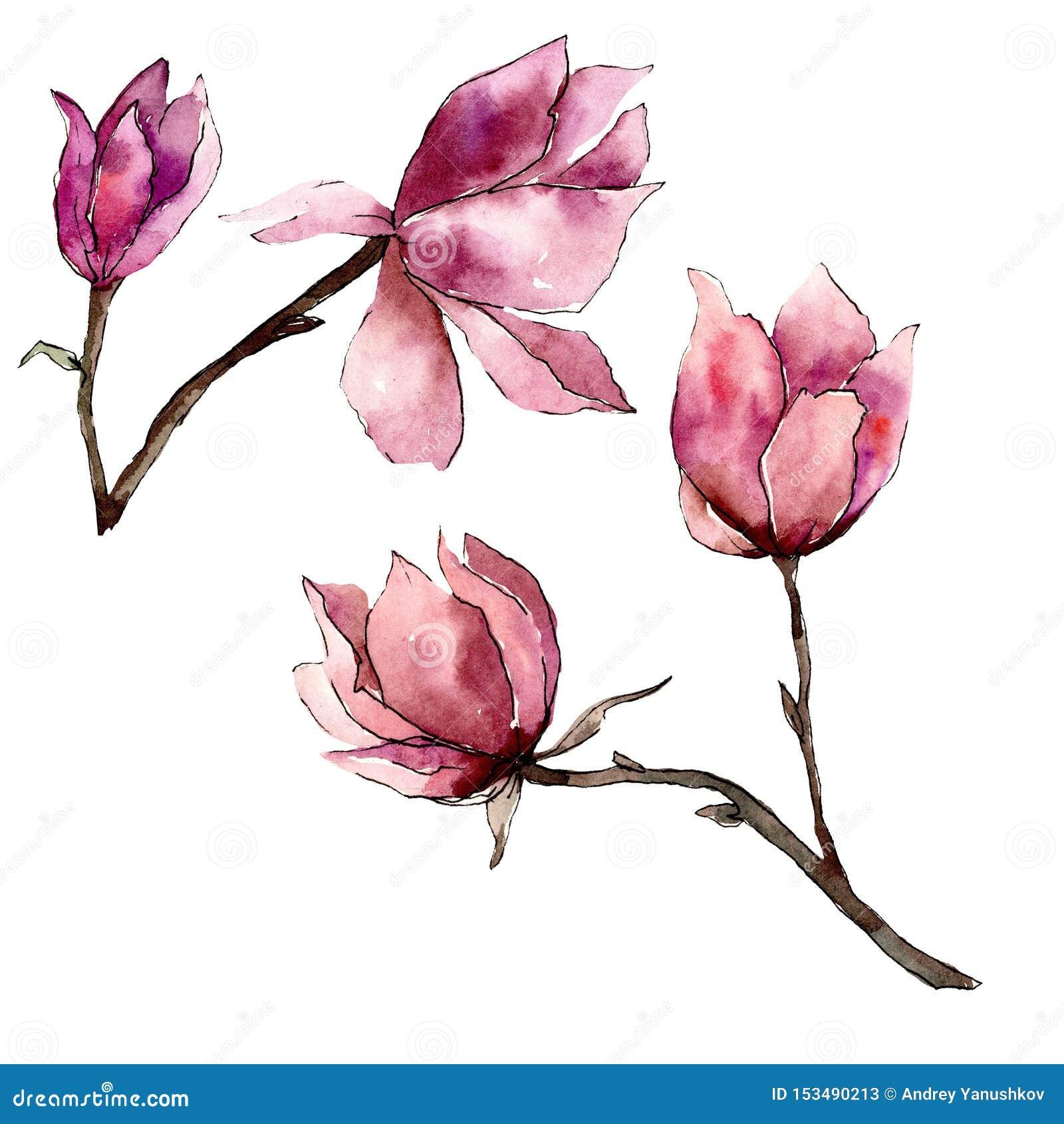Roze magnolia bloemen botanische bloemen Waterverf achtergrondillustratiereeks Het ge?soleerde element van de magnoliaillustratie