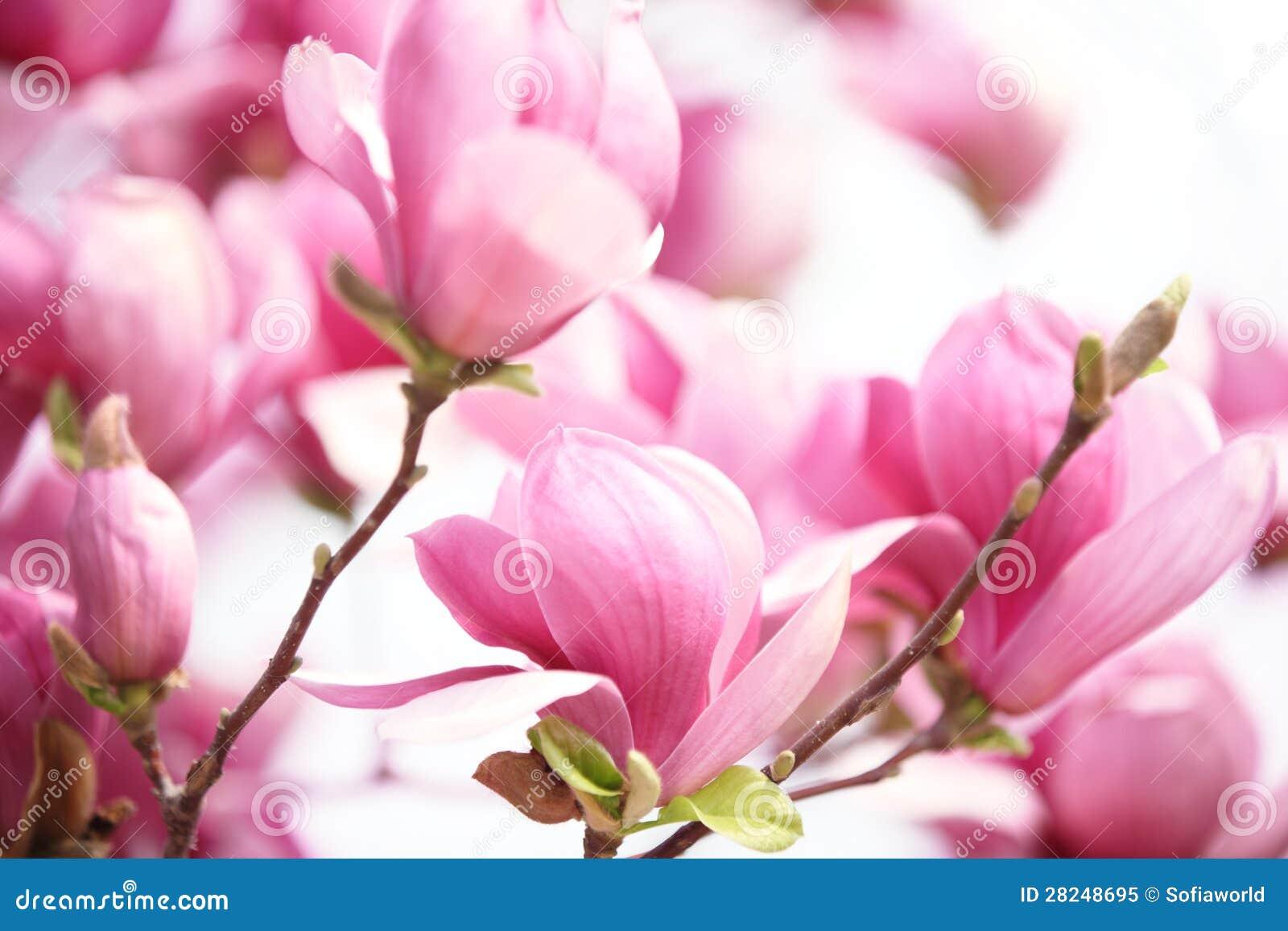 Roze magnoliabloem