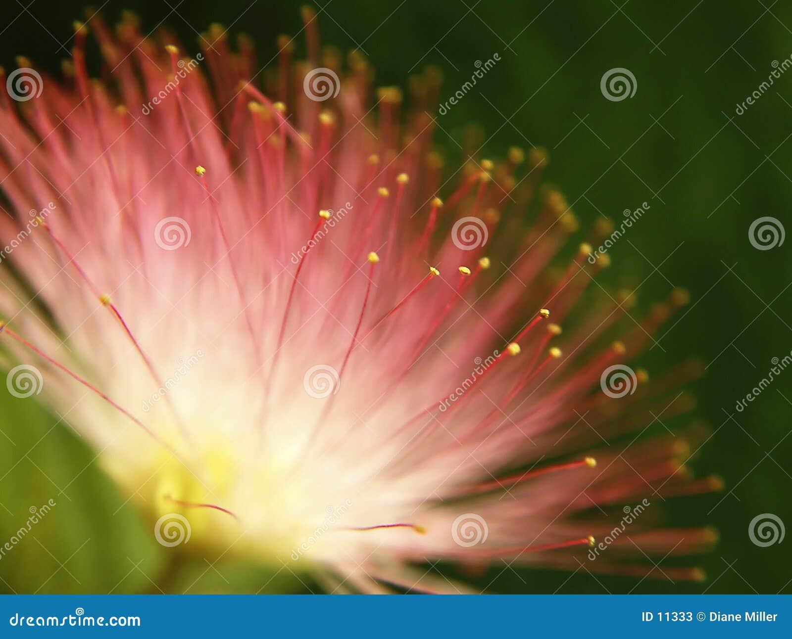 Roze mimosa sbloei