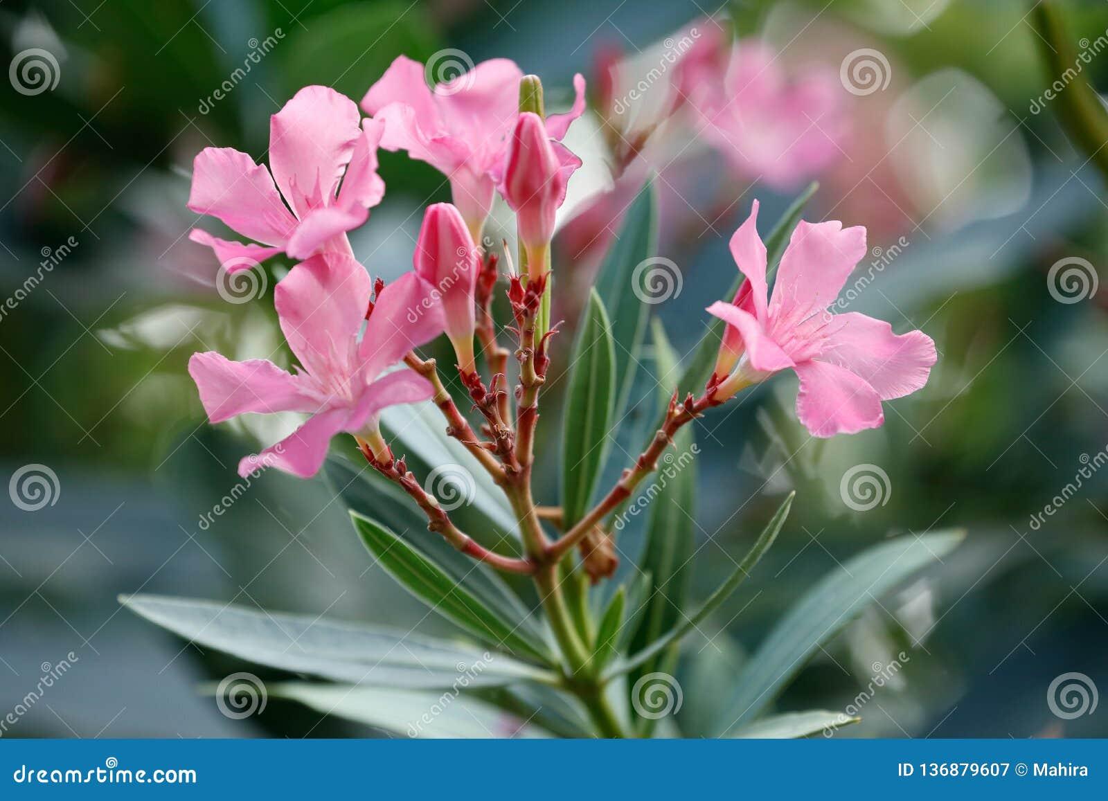 Roze oleanderbloemen en bladeren
