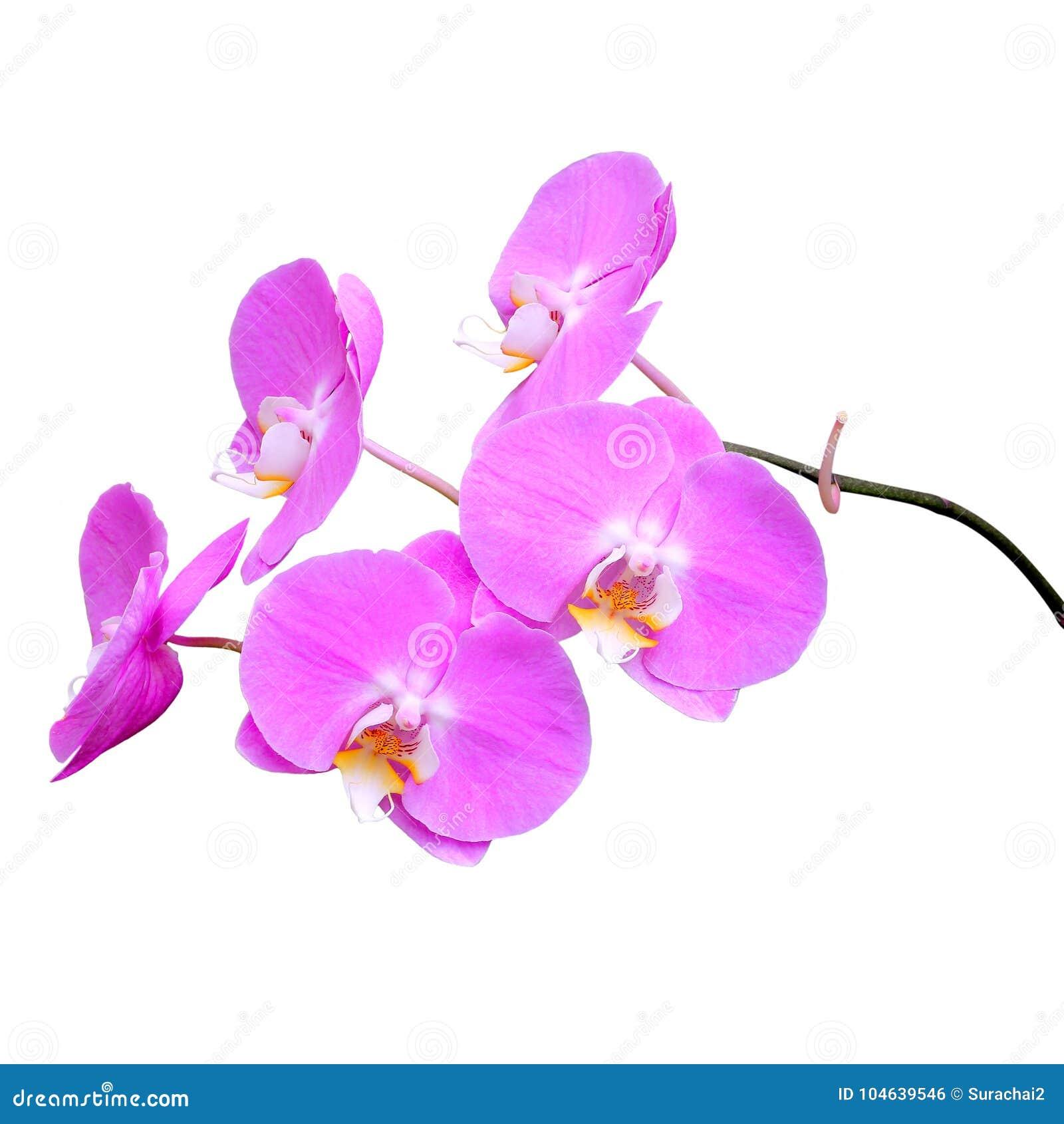 Download Roze Orchidee Die Op Wit Wordt Geïsoleerdt Stock Foto - Afbeelding bestaande uit schoonheid, purper: 104639546