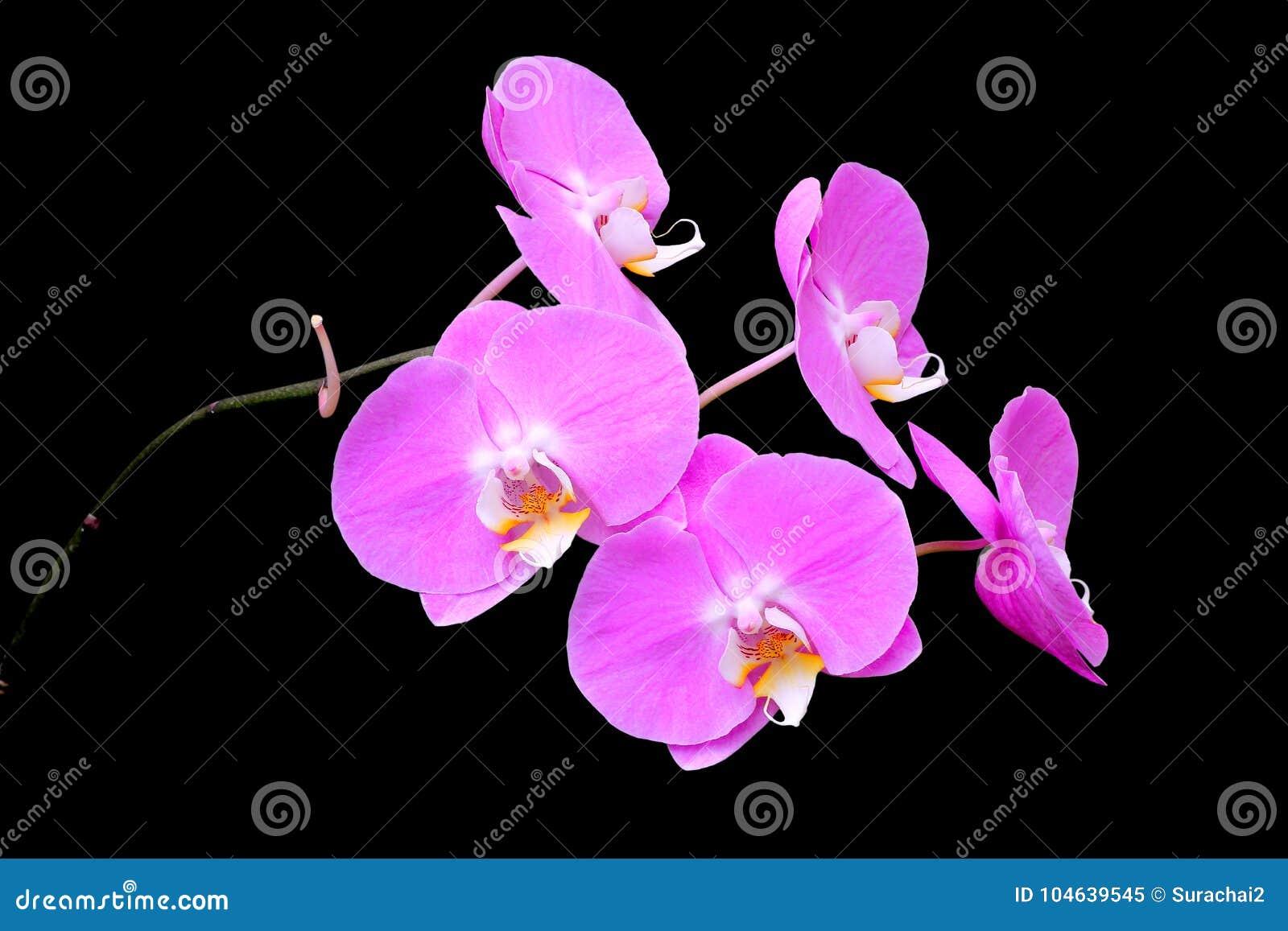 Download Roze Orchidee Die Op Zwarte Wordt Geïsoleerdl Stock Afbeelding - Afbeelding bestaande uit bloemblaadje, installatie: 104639545
