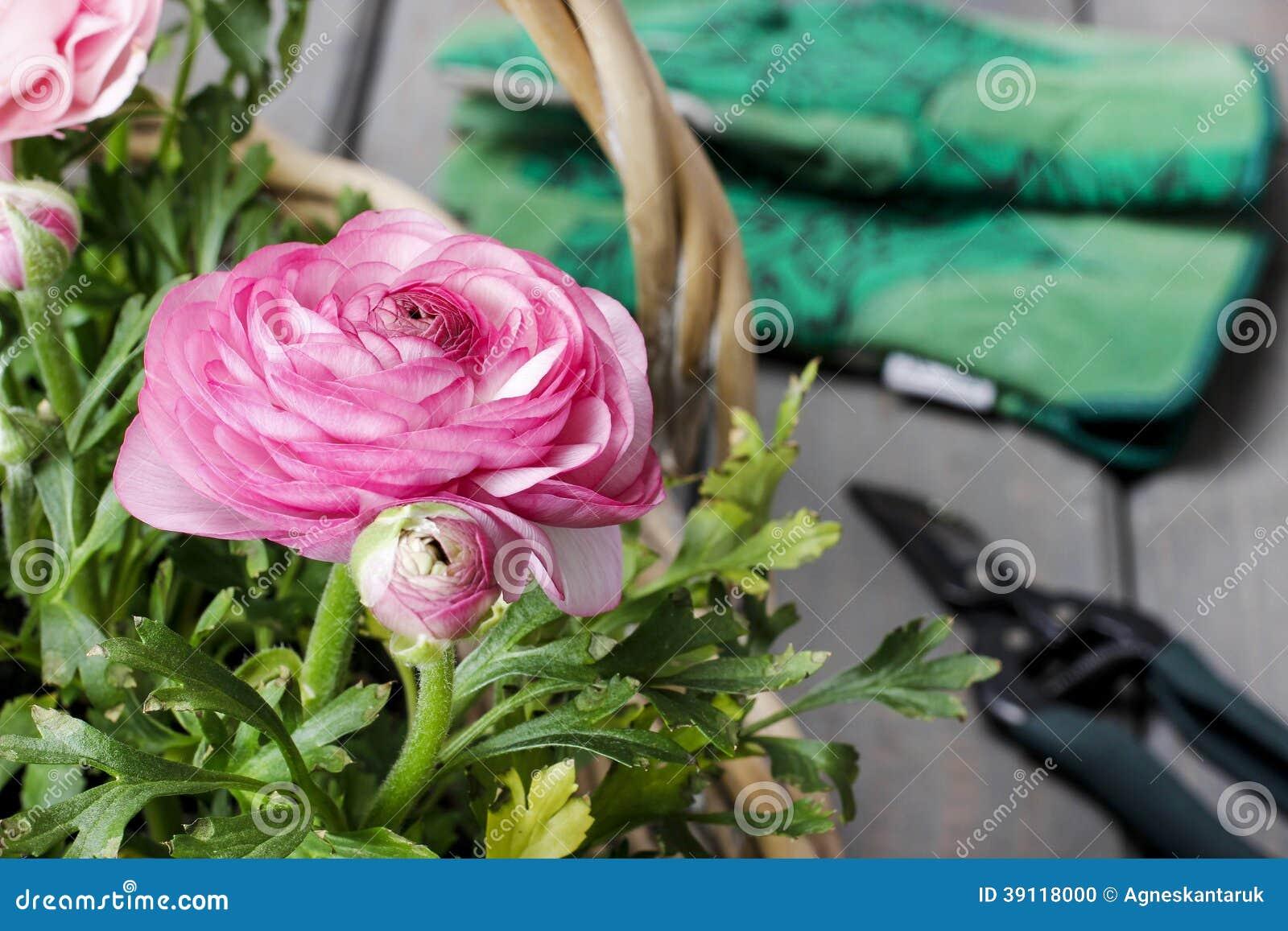 Roze Perzische boterbloemenbloemen.