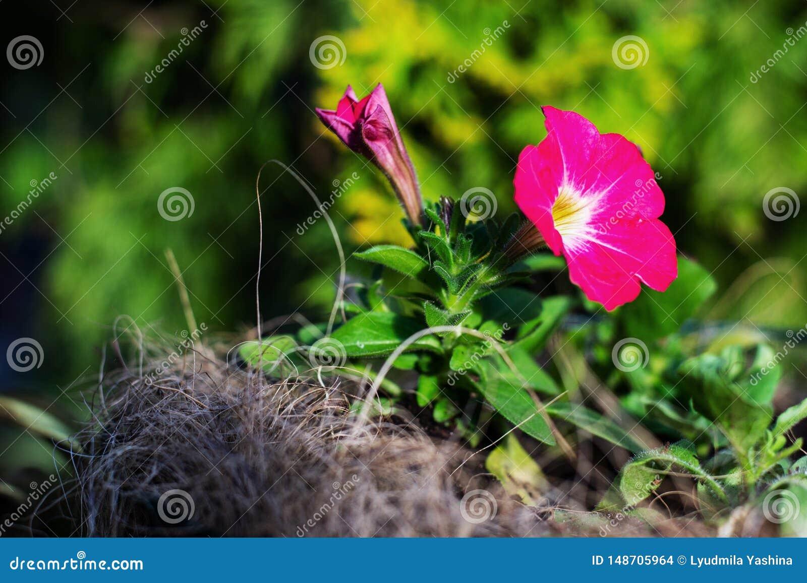 Roze petunia in de tuin