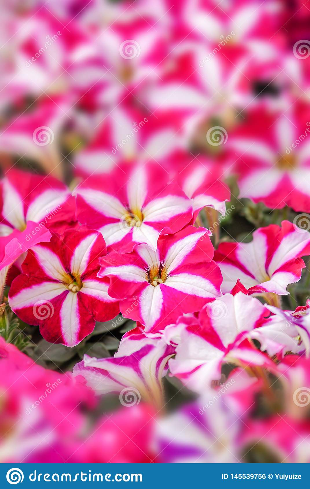 Roze petuniabloemen