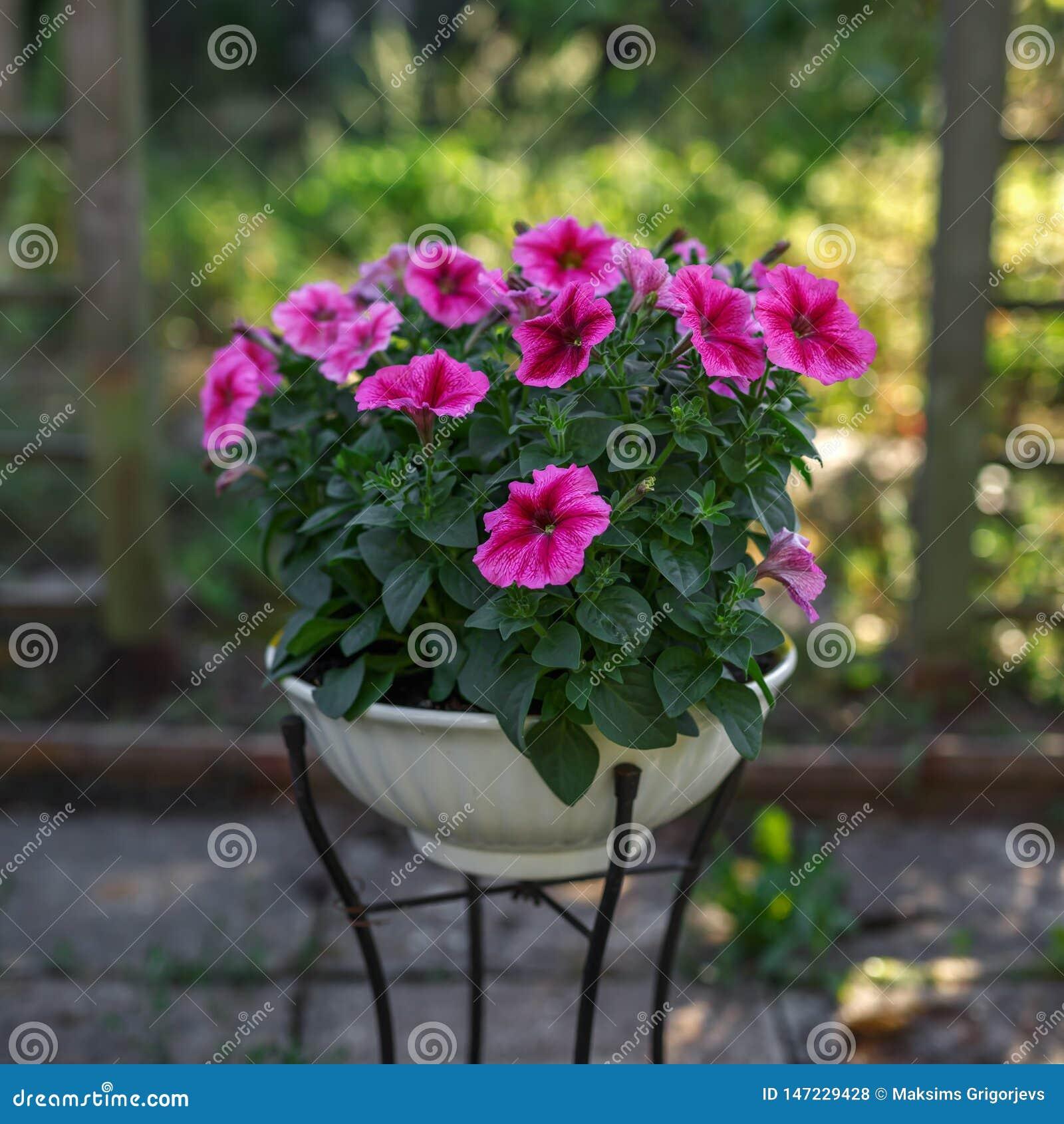Roze petuniabloemen in vaas in tuin