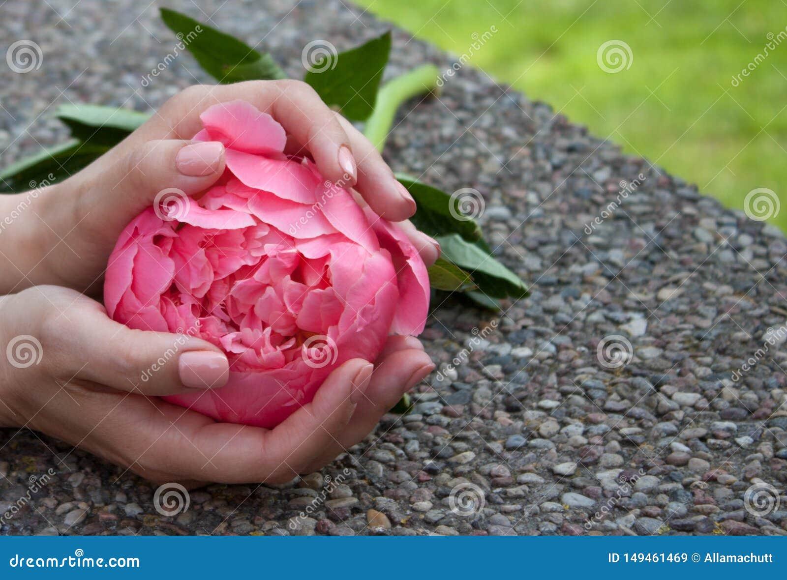 Roze pioen in handen