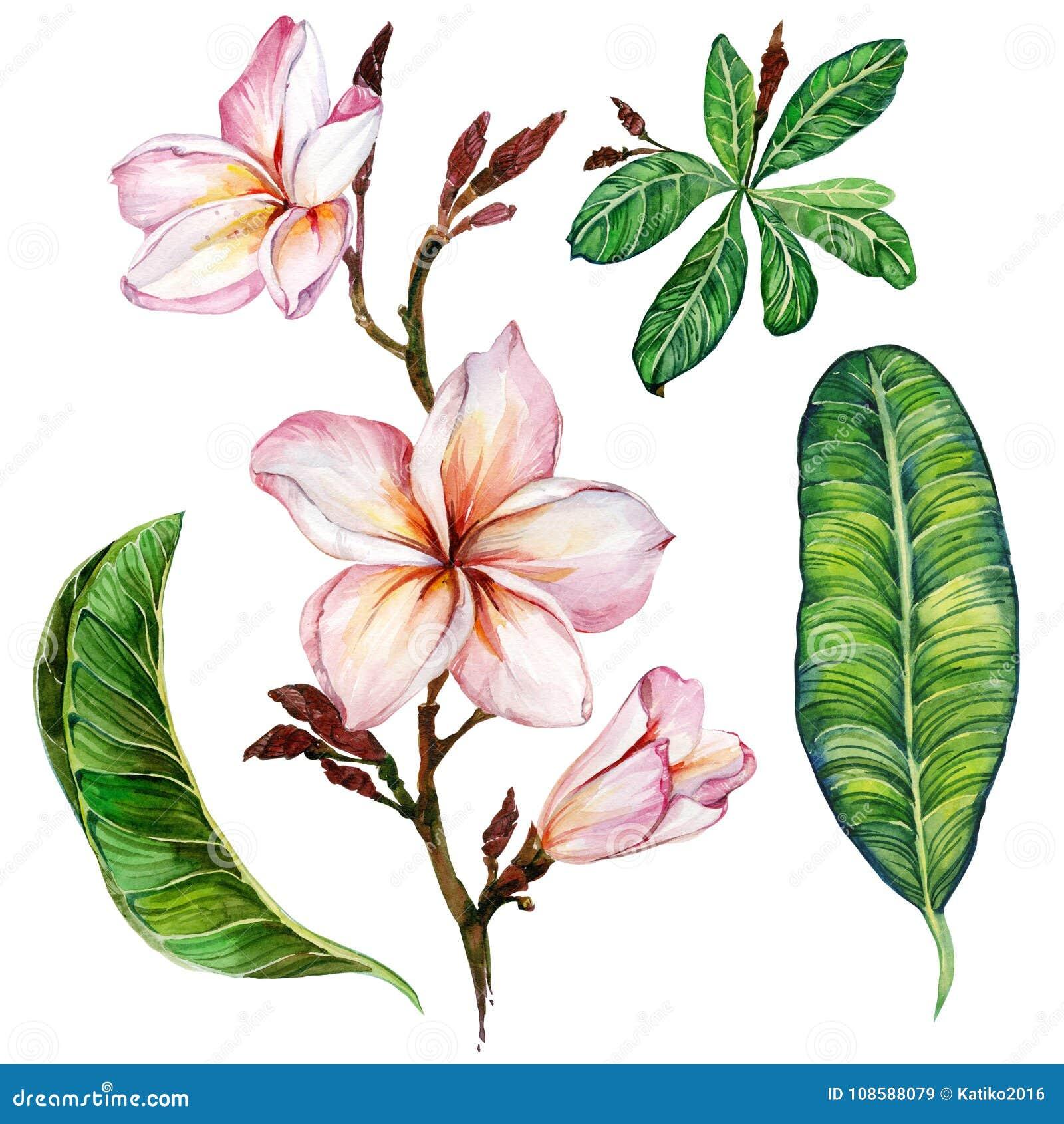 Roze plumeriabloem op een takje Bloemen vastgestelde bloemen en bladeren Geïsoleerdj op witte achtergrond Het Schilderen van de w