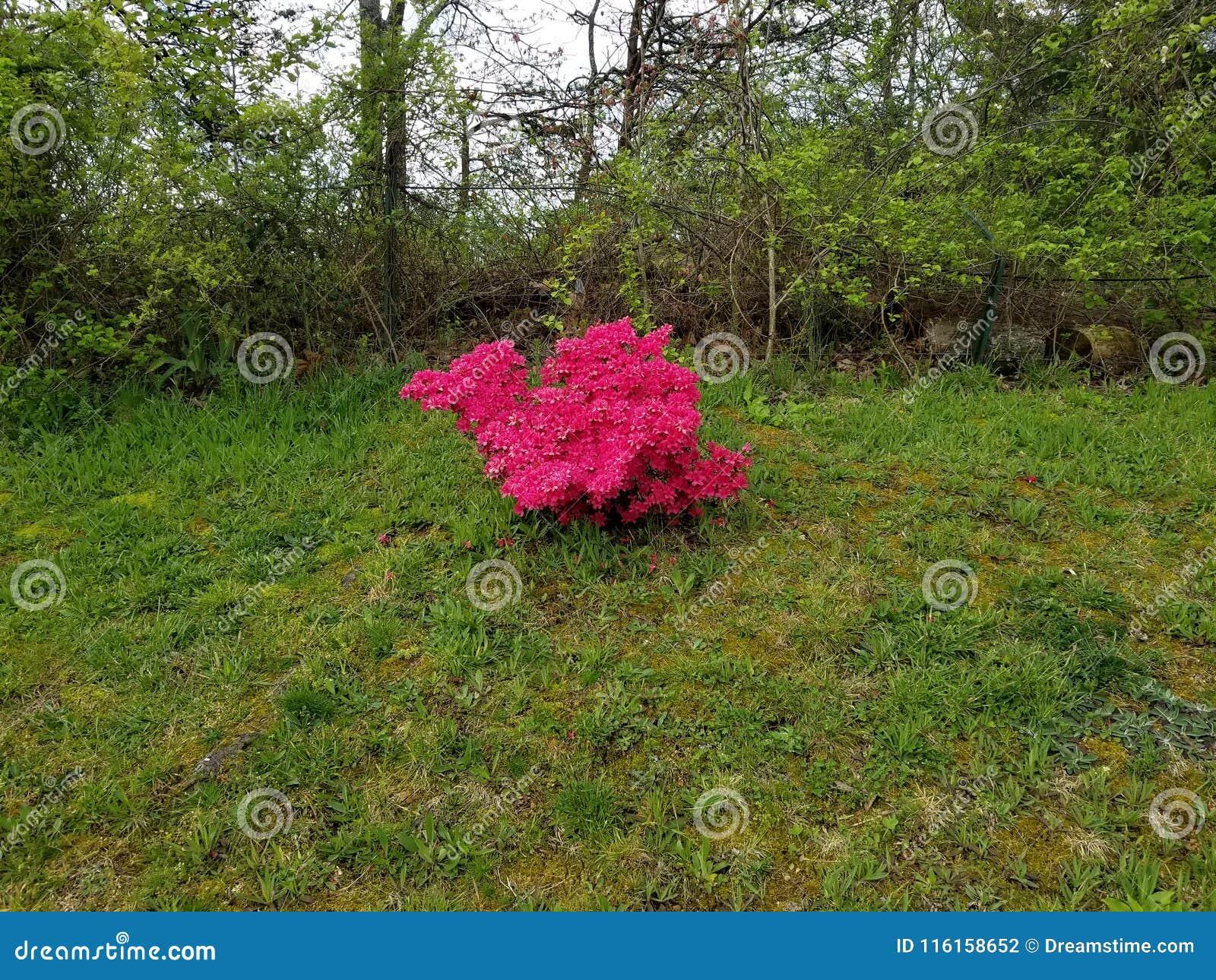 Roze Posey& x27; s door de omheining