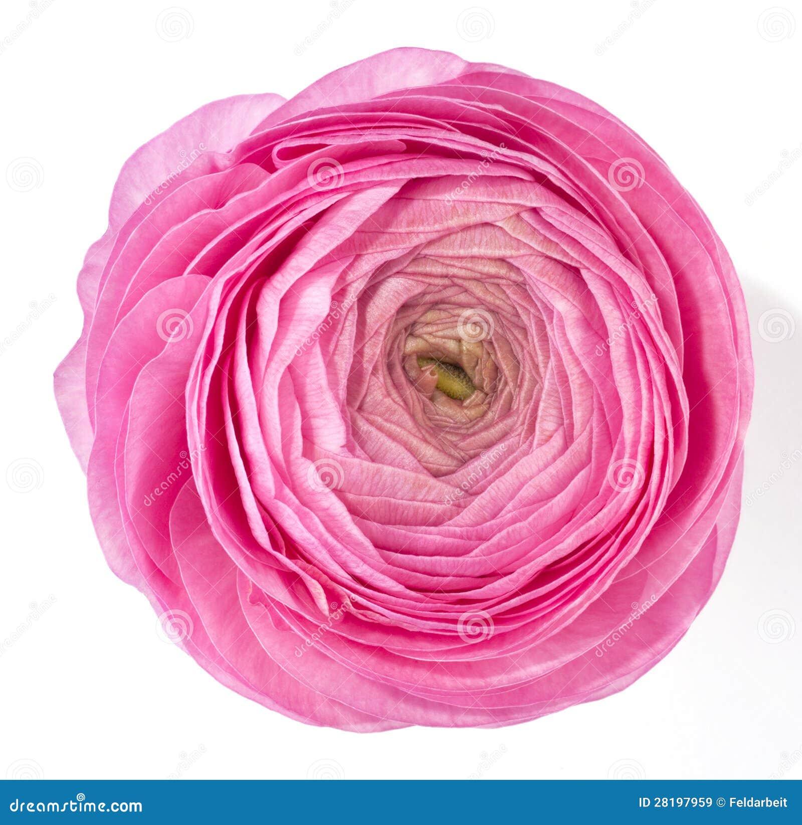 Roze ranunculus