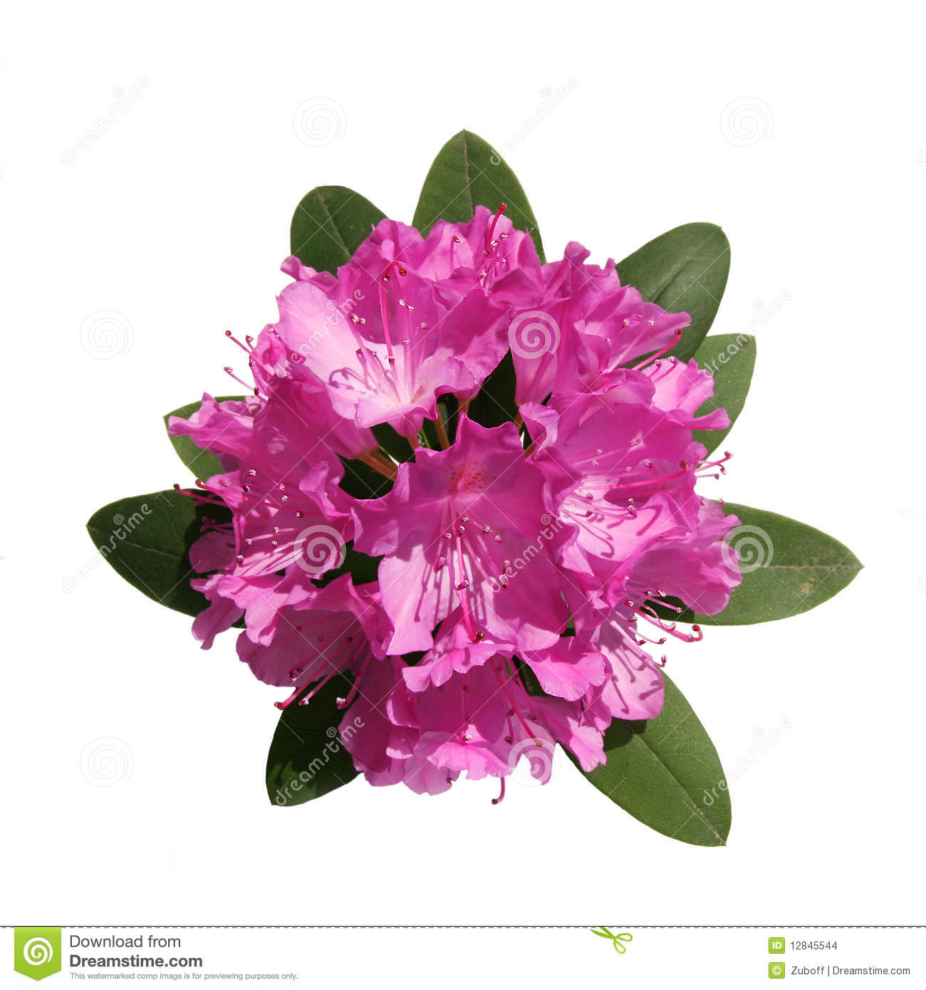 Roze rododendron