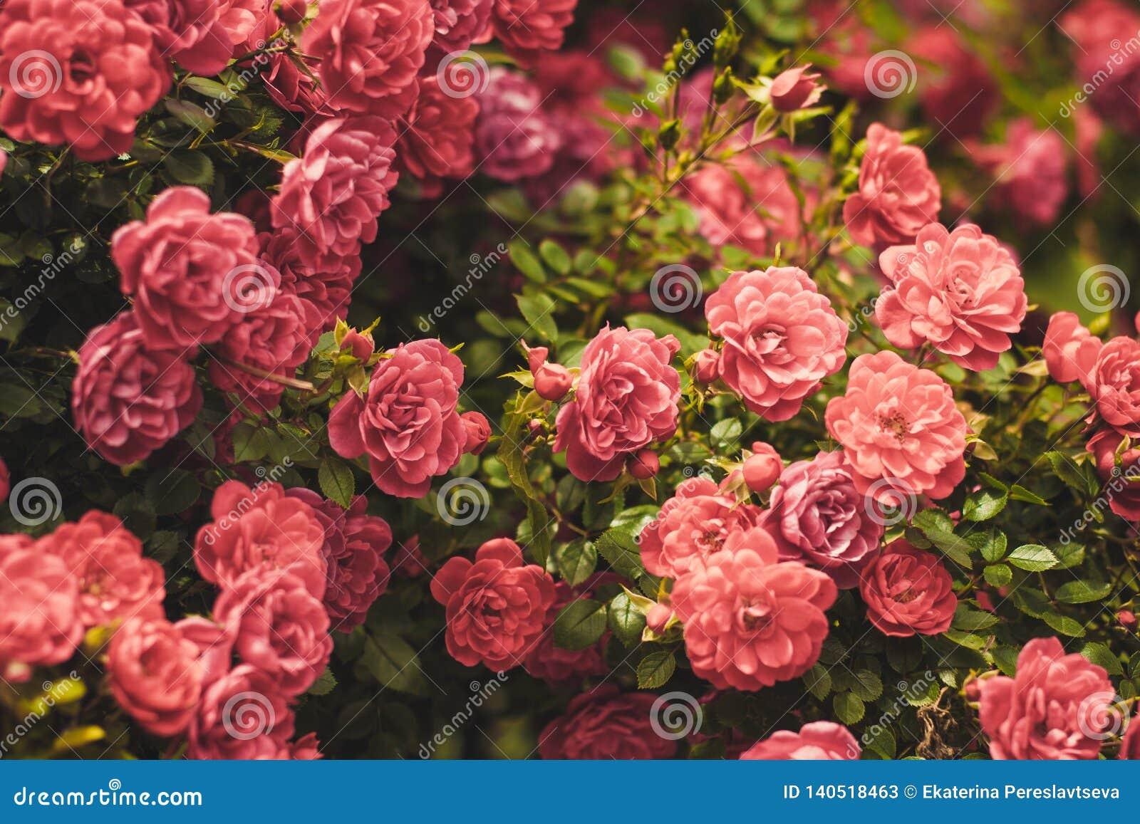 Roze Rose Bushes Blooming Garden Summer