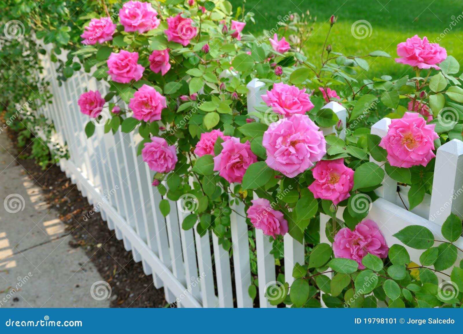 Roze Rozen op Witte Omheining