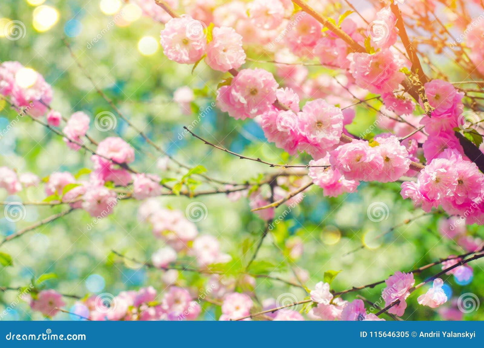 Roze struikbloesems in de lente met roze bloemen Natuurlijk behang Concept de lente Achtergrond voor ontwerp