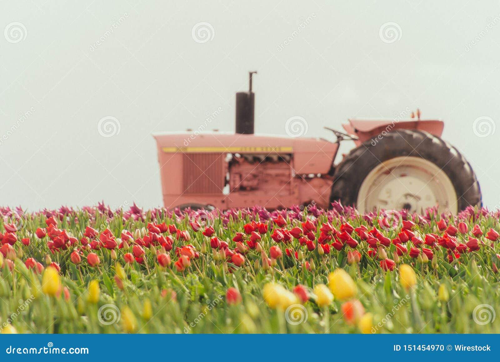 Roze tractor in een gebiedshoogtepunt van mooie kleurrijke tulpen