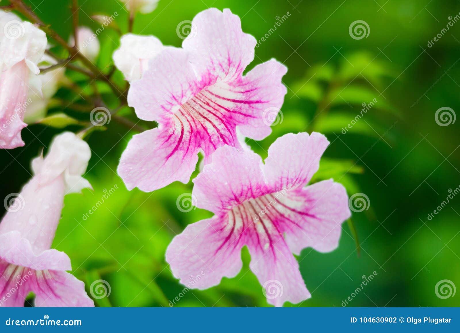 Download Roze Trompetwijnstok, Podranea-ricasoliana, Bloem Stock Foto - Afbeelding bestaande uit trompet, botanisch: 104630902