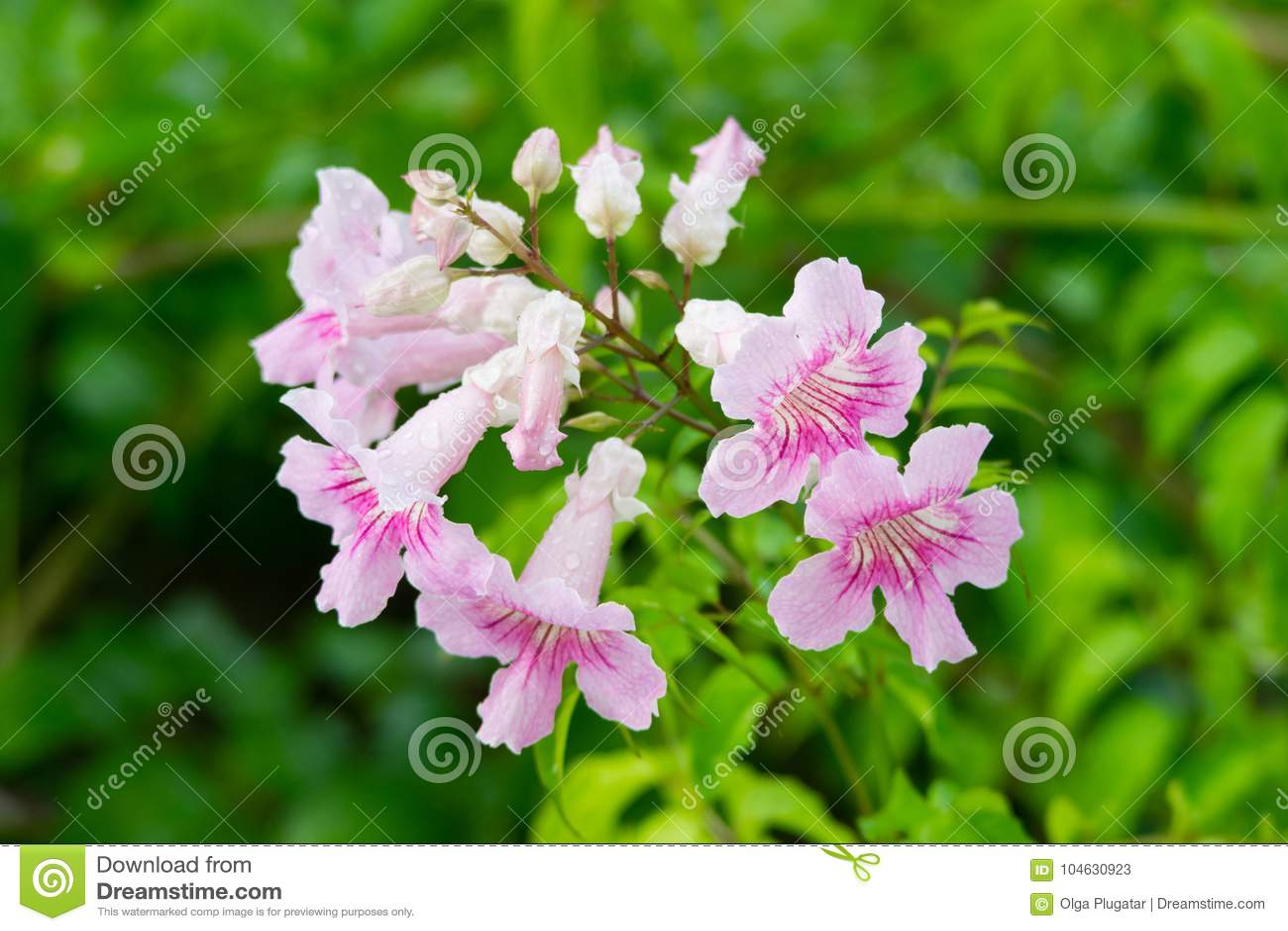 Download Roze Trompetwijnstok, Podranea-ricasoliana, Bloem Stock Afbeelding - Afbeelding bestaande uit patroon, trompet: 104630923