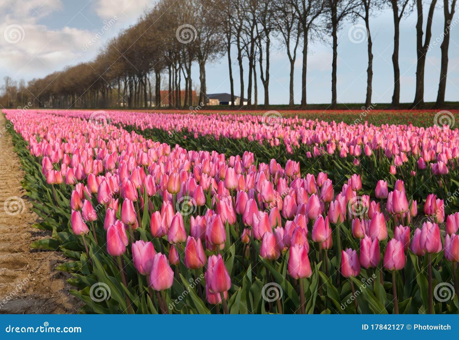 roze tulpen in holland stock afbeelding afbeelding bestaande uit overvloed 17842127. Black Bedroom Furniture Sets. Home Design Ideas