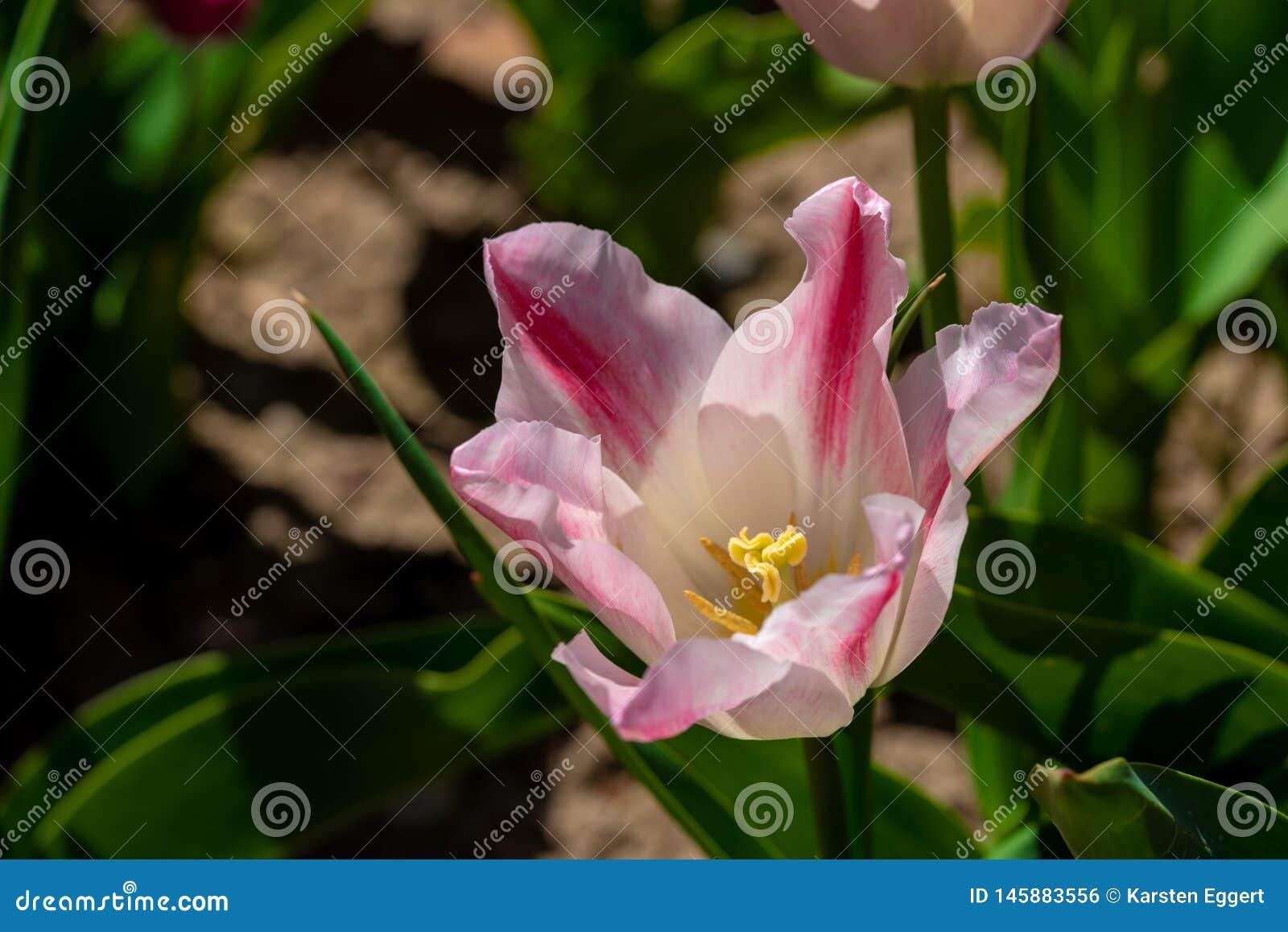 Roze tulpentribunes voor een tulpengebied
