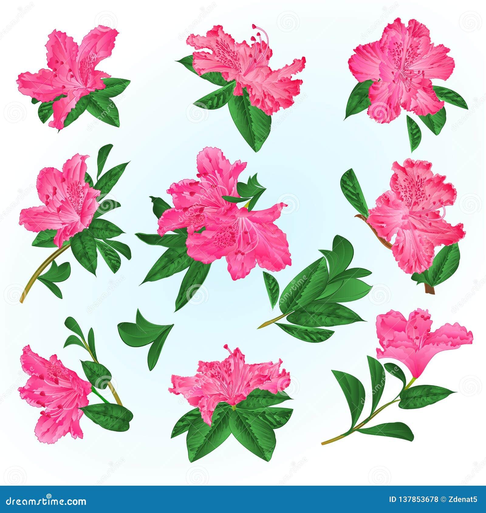 Roze van bloemenrododendrons en bladeren bergstruik op een blauwe uitstekende vector editable illustratie als achtergrond
