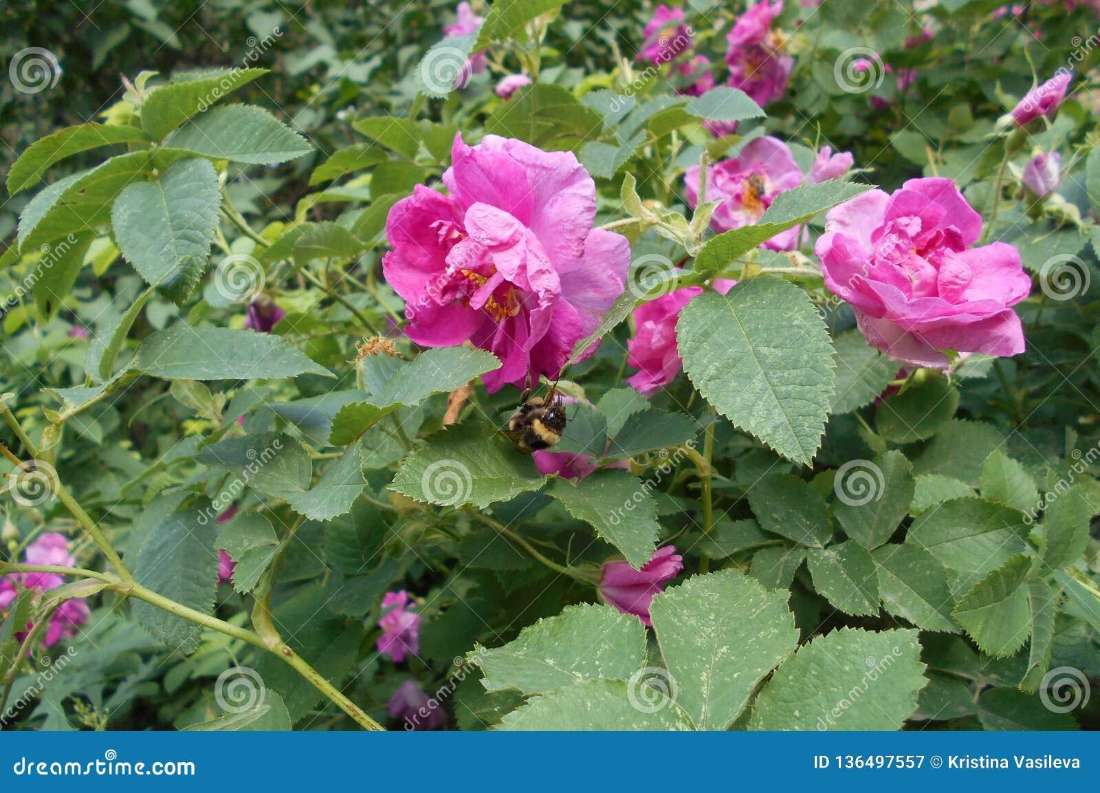 Rozebottelbloemen in bloesem Warme zonnige dag De bij vloog aan briar