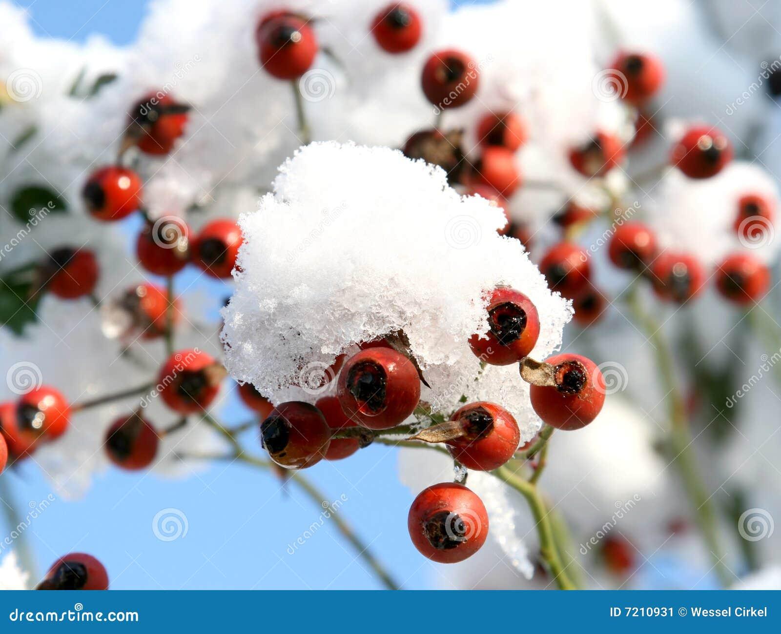 Rozebottels in de sneeuw