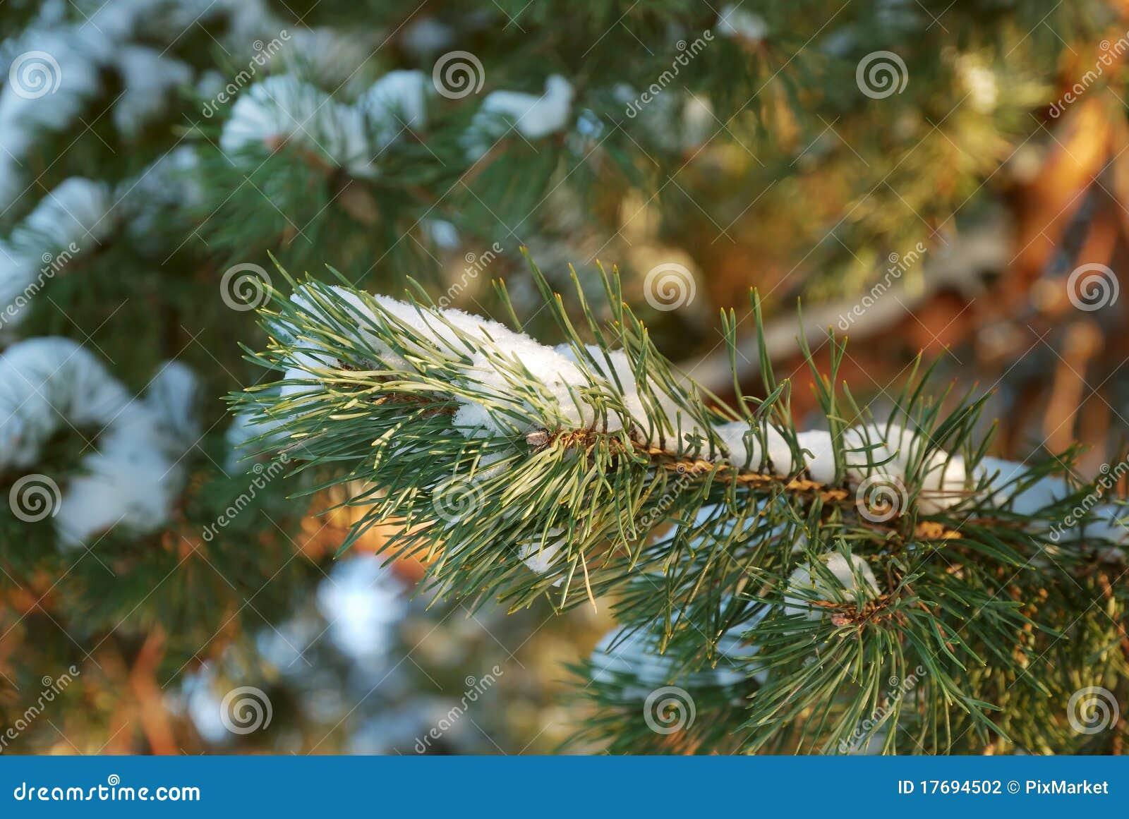 Rozgałęzia się jedlinowego drzewa