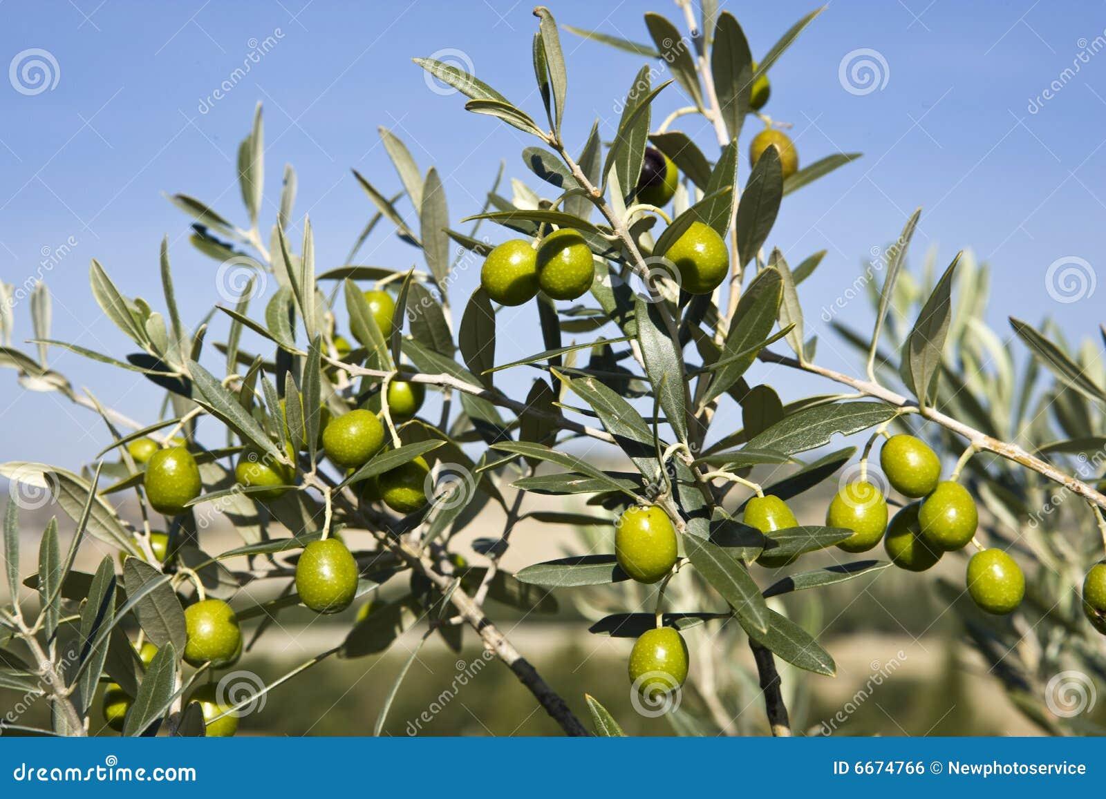 Rozgałęzia się oliwki s
